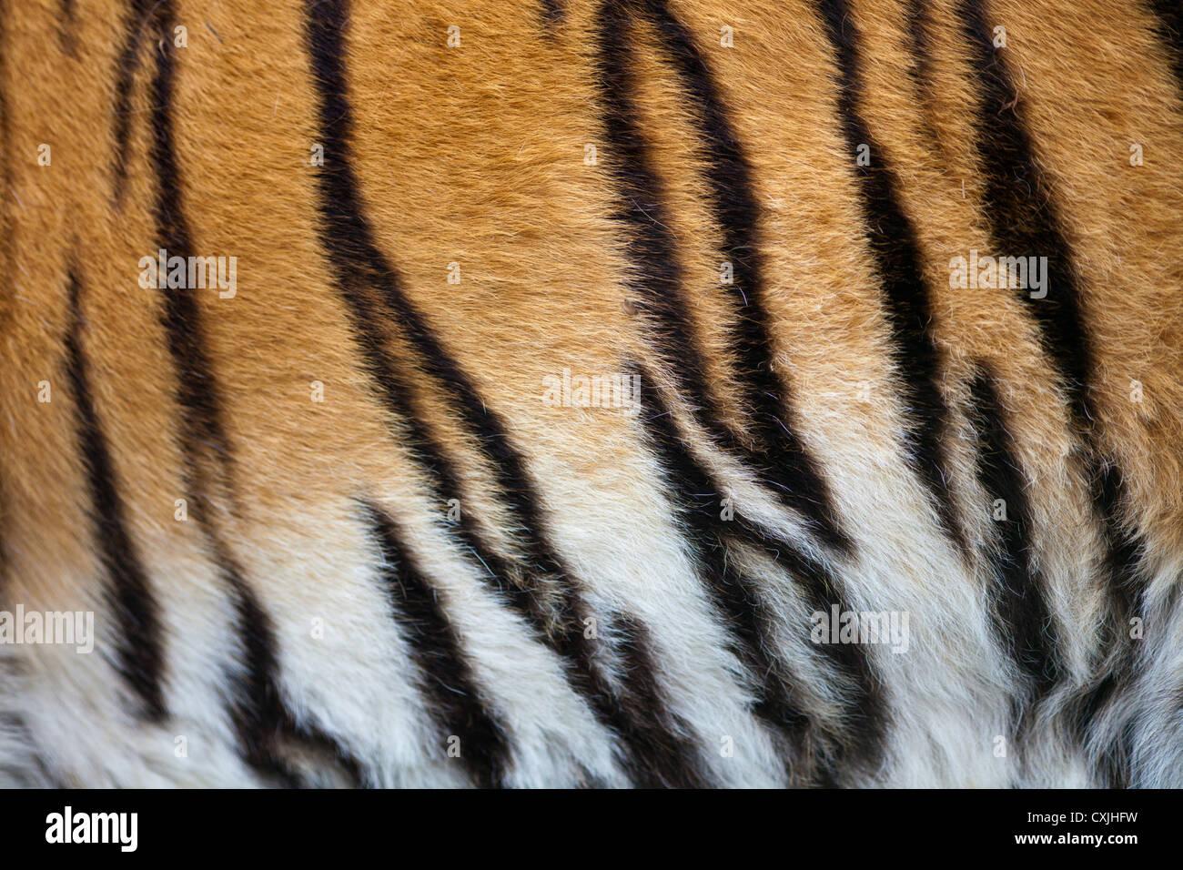 El tigre (Panthera tigris) coat Imagen De Stock