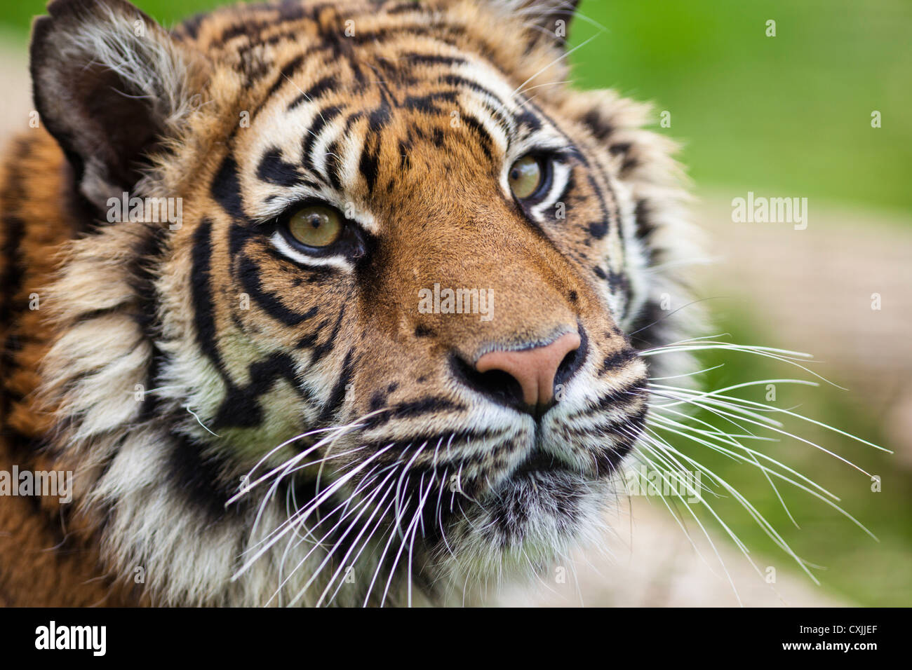 El tigre (Panthera tigris) cierre vertical Imagen De Stock