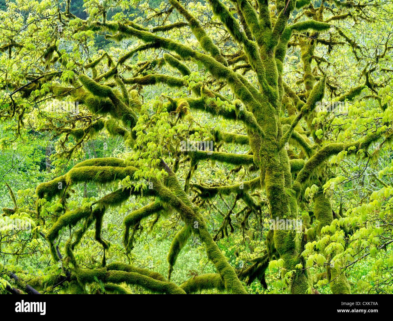 Árbol de arce de hoja grande con moss y nuevo crecimiento. Cordillera de la costa de Oregon. Imagen De Stock