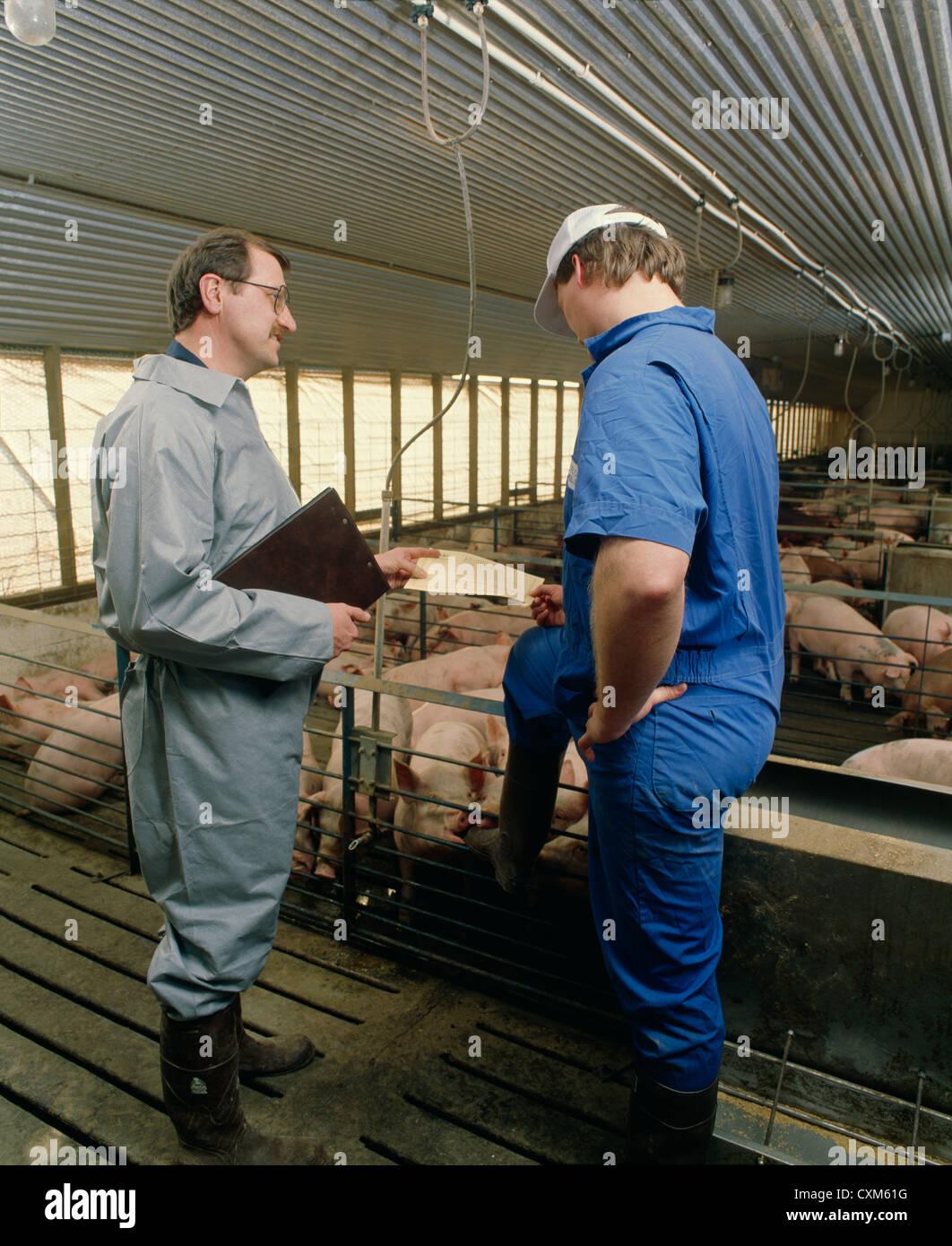 El veterinario y productor en operación de cerdo Foto de stock