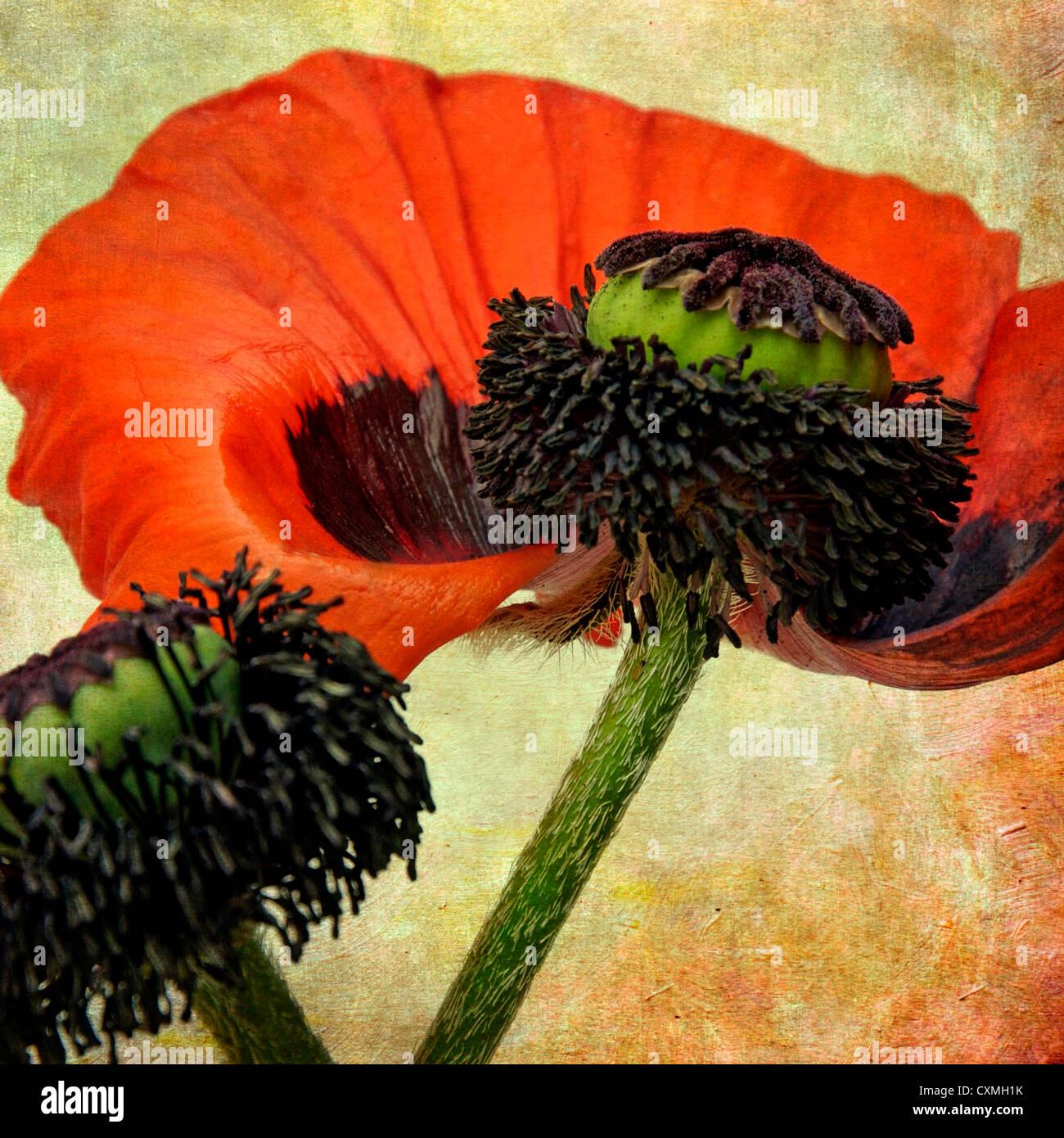 Flor de adormidera, de aspecto vintage, con textura efecto arte bodegón imagen Imagen De Stock