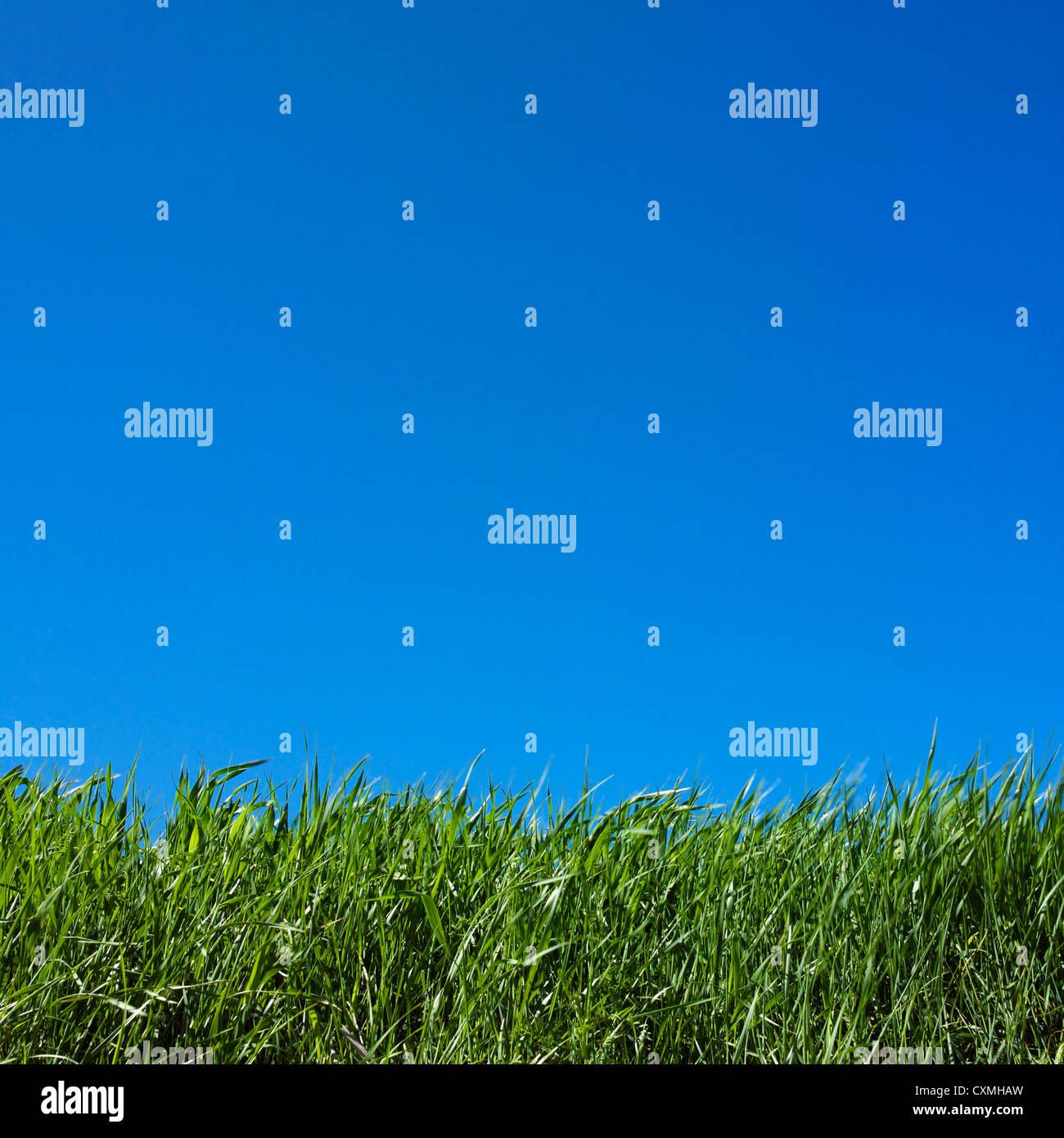 Hierba de cerca y fondo de cielo azul Imagen De Stock