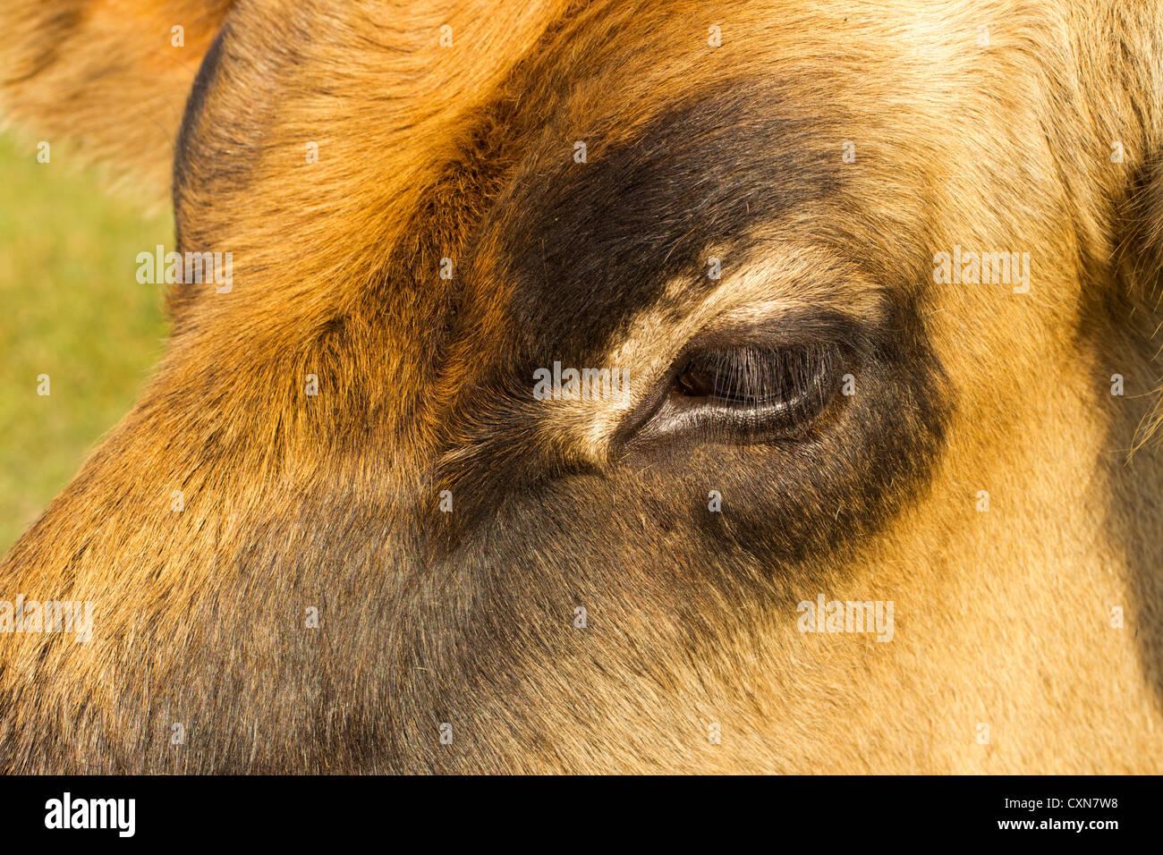Ojo de una vaca Foto de stock