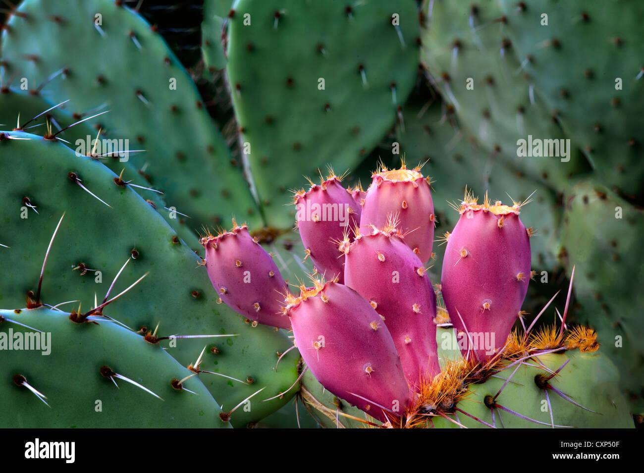 Fruto del nopal. Desierto de Sonora, Arizona Imagen De Stock