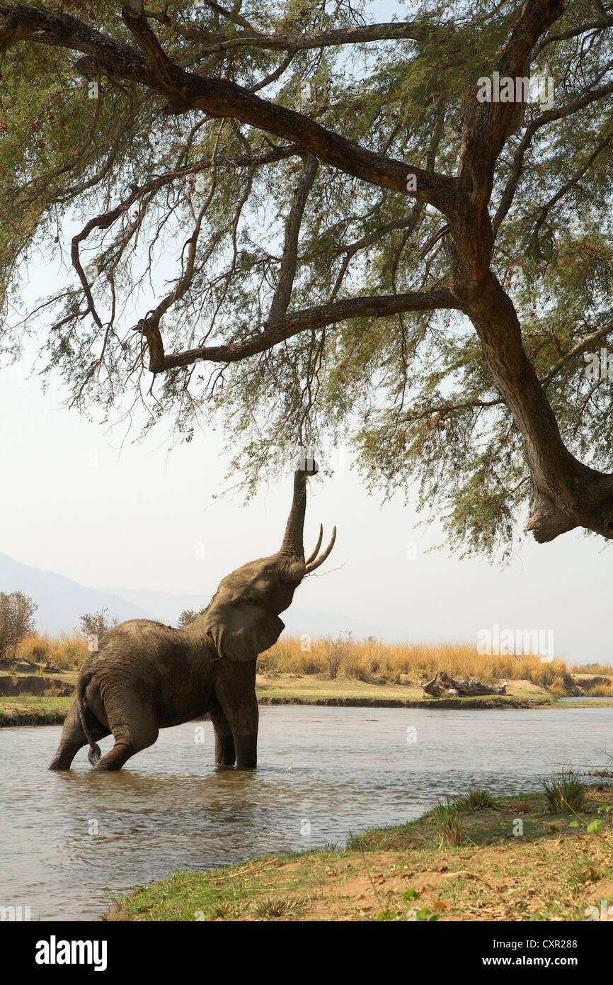 Elefante africano juvenil hasta llegar al árbol, mientras que en el río Zambeze, Mana Pools, Zimbabwe Imagen De Stock