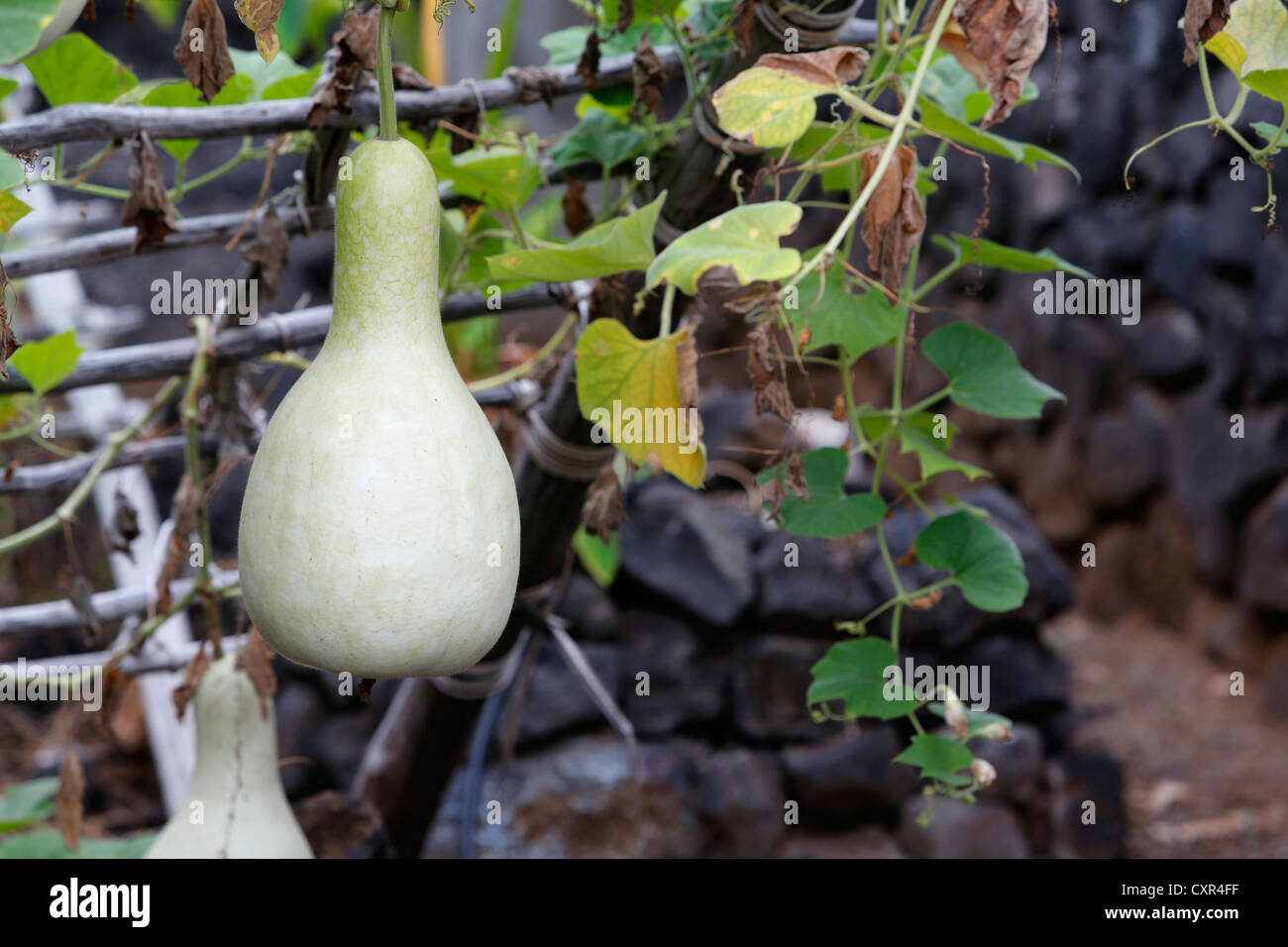 Calabaza (Lagenaria siceraria botella) cultivadas para uso tradicional como un contenedor de líquidos de hula instrumento Foto de stock