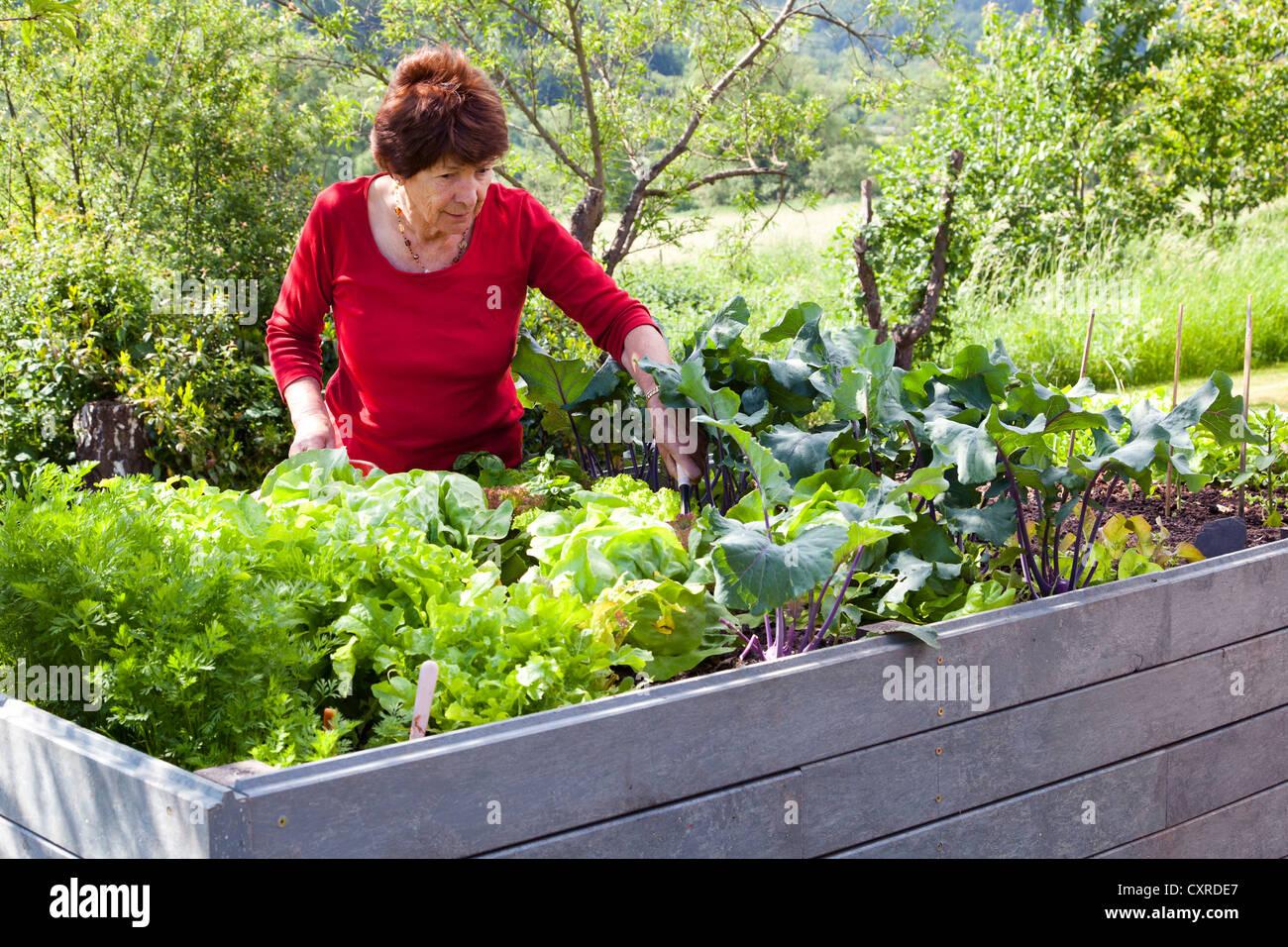 Anciana, jubilado, 70-80 años, trabajando en una cama levantada en un jardín, Bengel, Renania-Palatinado, Alemania, Foto de stock