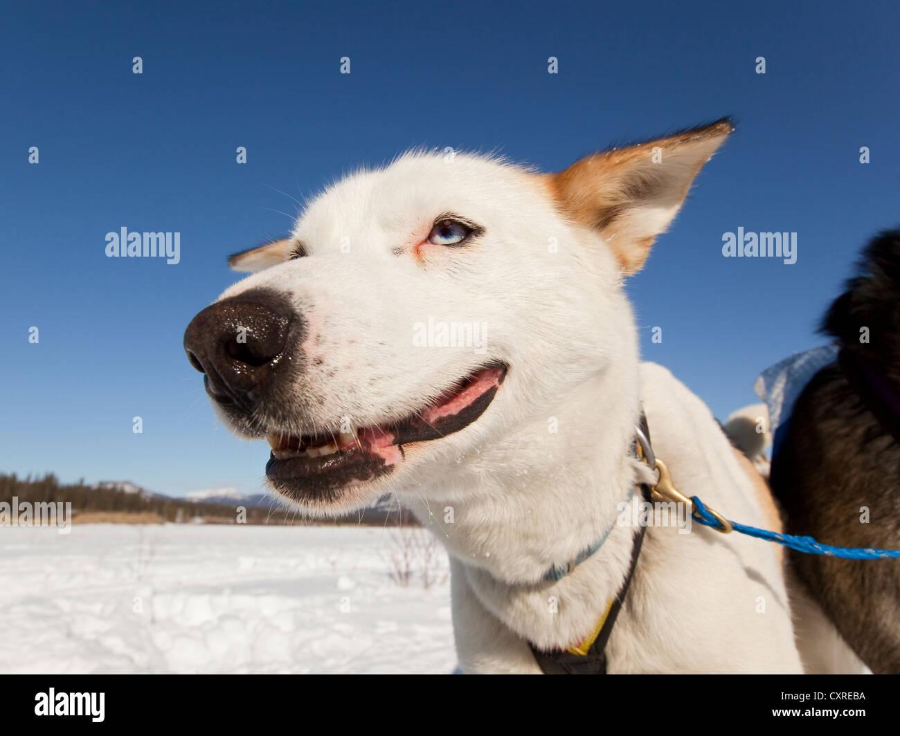 Retrato de Sled Dog, el plomo, el Perro Husky de Alaska, congelados Yukon River, territorio de Yukon, Canadá Imagen De Stock