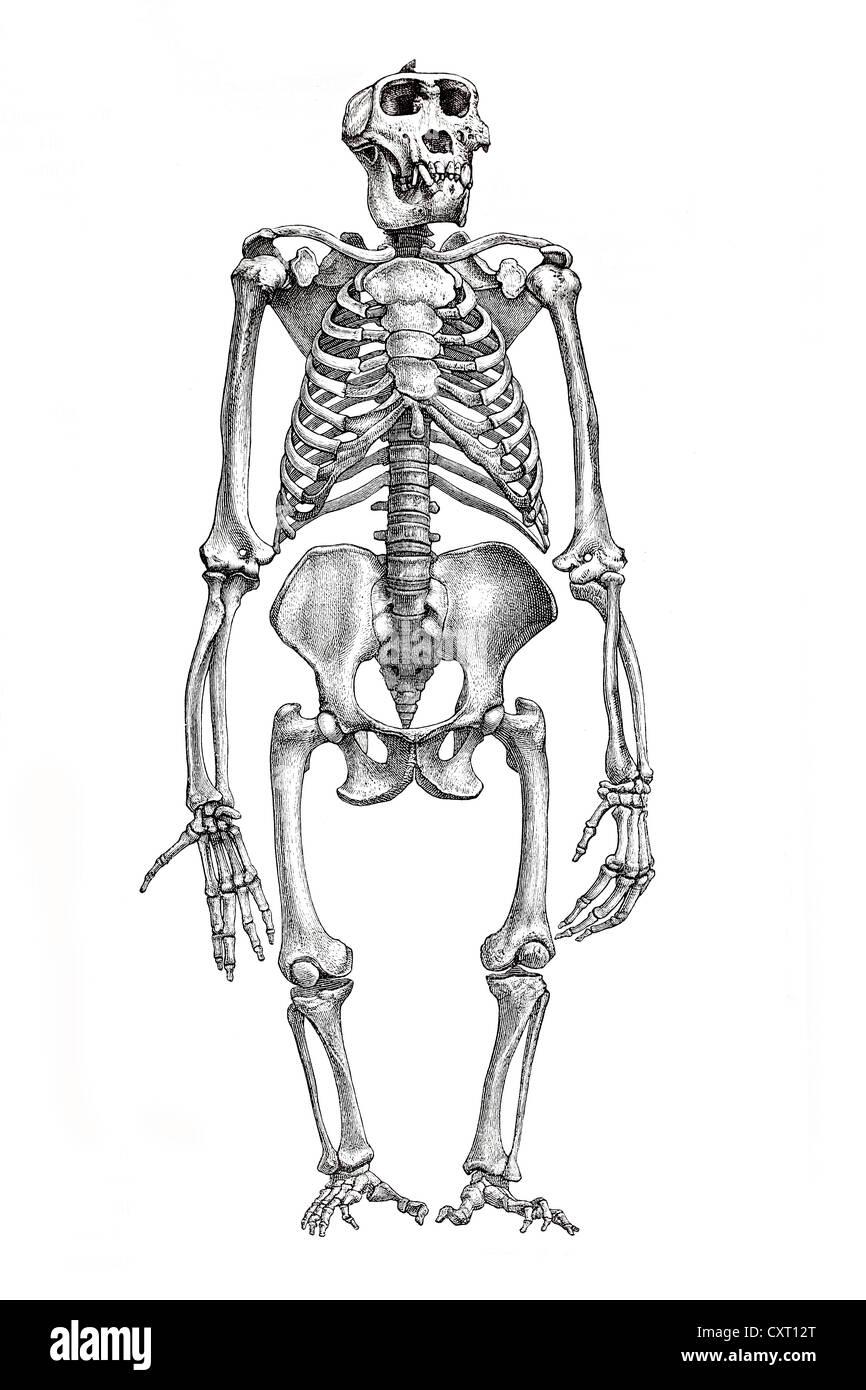 El esqueleto de un gorila, ilustración anatómica Foto & Imagen De ...