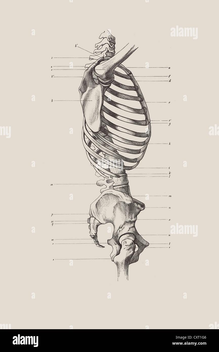 Anatomical Illustrations Imágenes De Stock & Anatomical ...