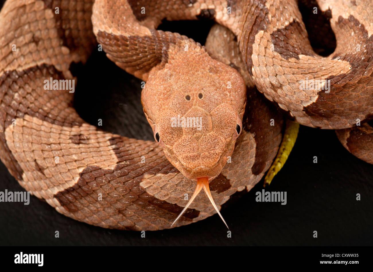 La serpiente cabeza de cobre (copperhead) sur, Agkistrodon contortrix Imagen De Stock