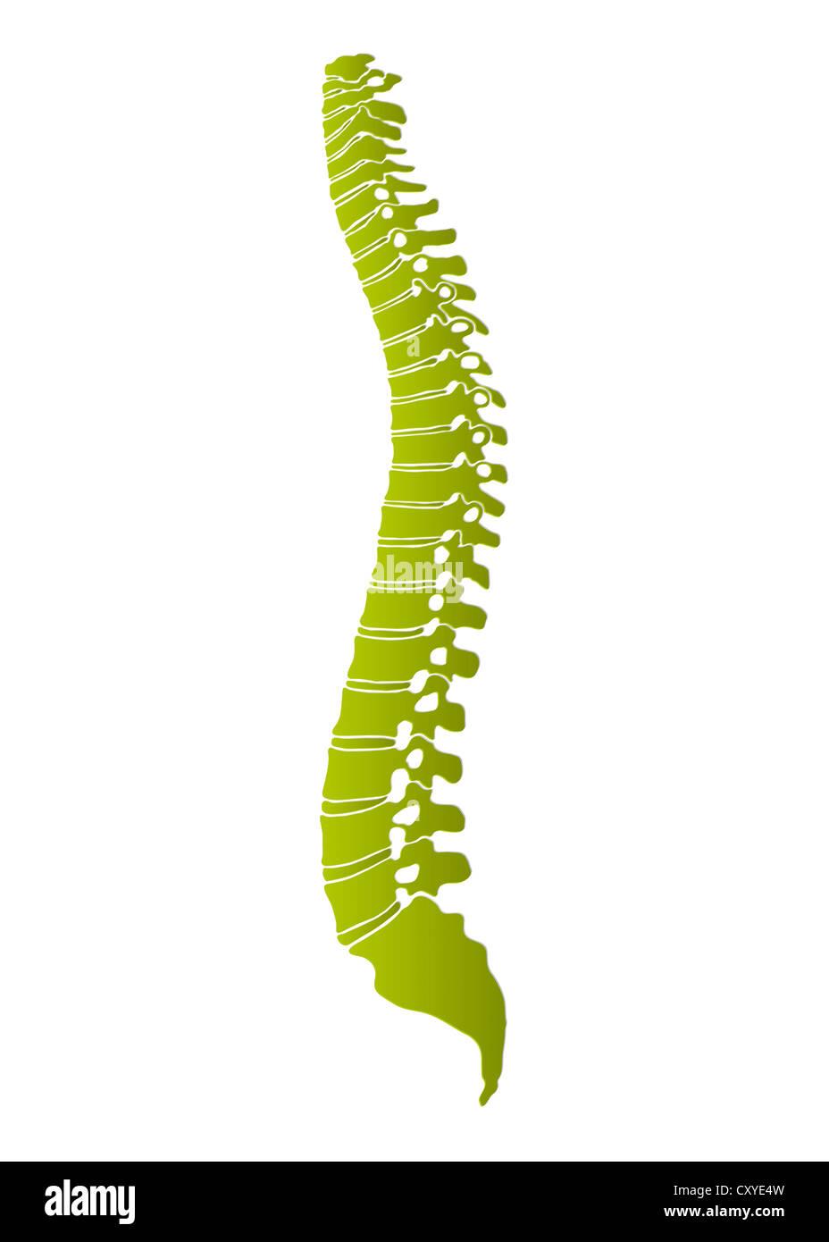 La columna vertebral humana, representación esquemática Foto de stock