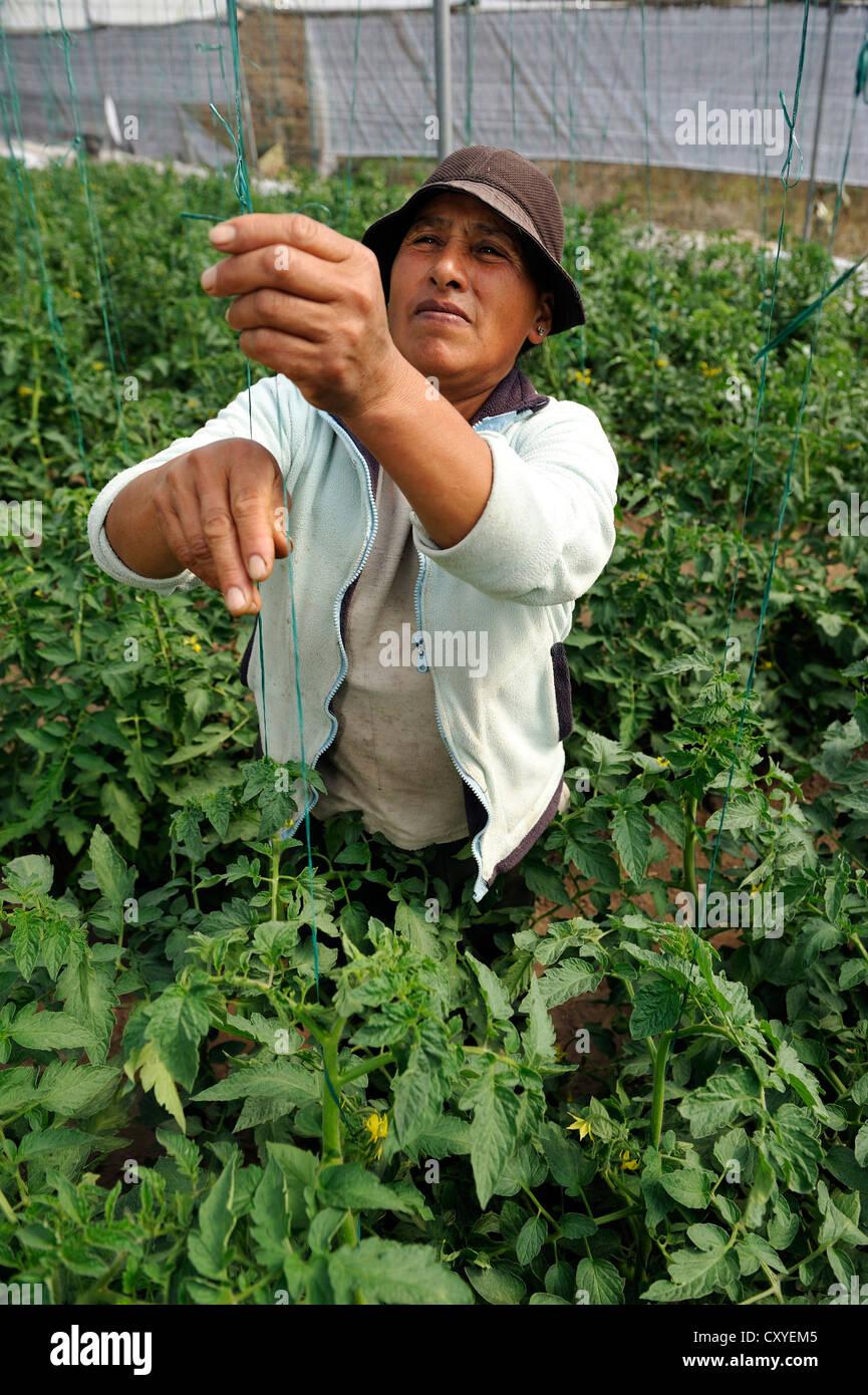 Agricultor cultivando plantas de tomate (Solanum lycopersicum) en invernadero, comunidad de Mariano Acosta, Cantón Imagen De Stock