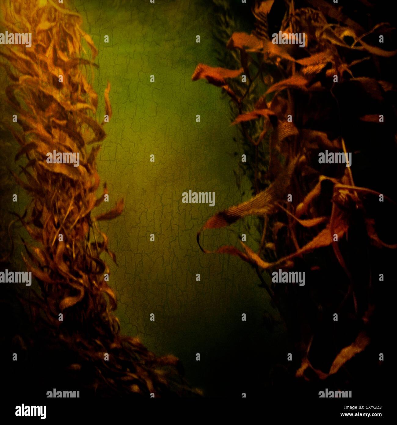 Algas Kelp que fluye en el agua Imagen De Stock