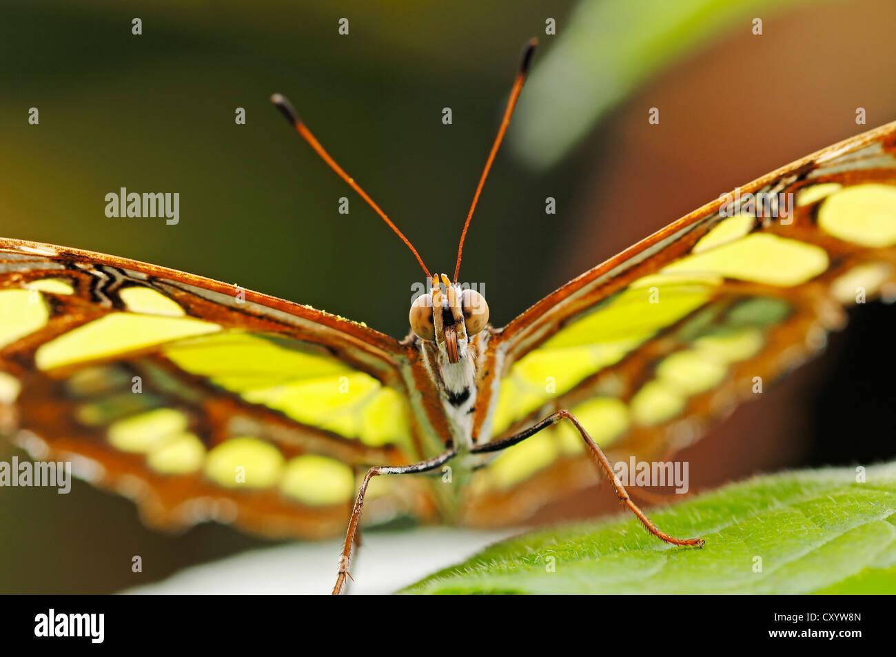 Malaquita Siproeta stelenes (mariposas), nativa de América del Sur, cautiva, Países Bajos, Europa Foto de stock