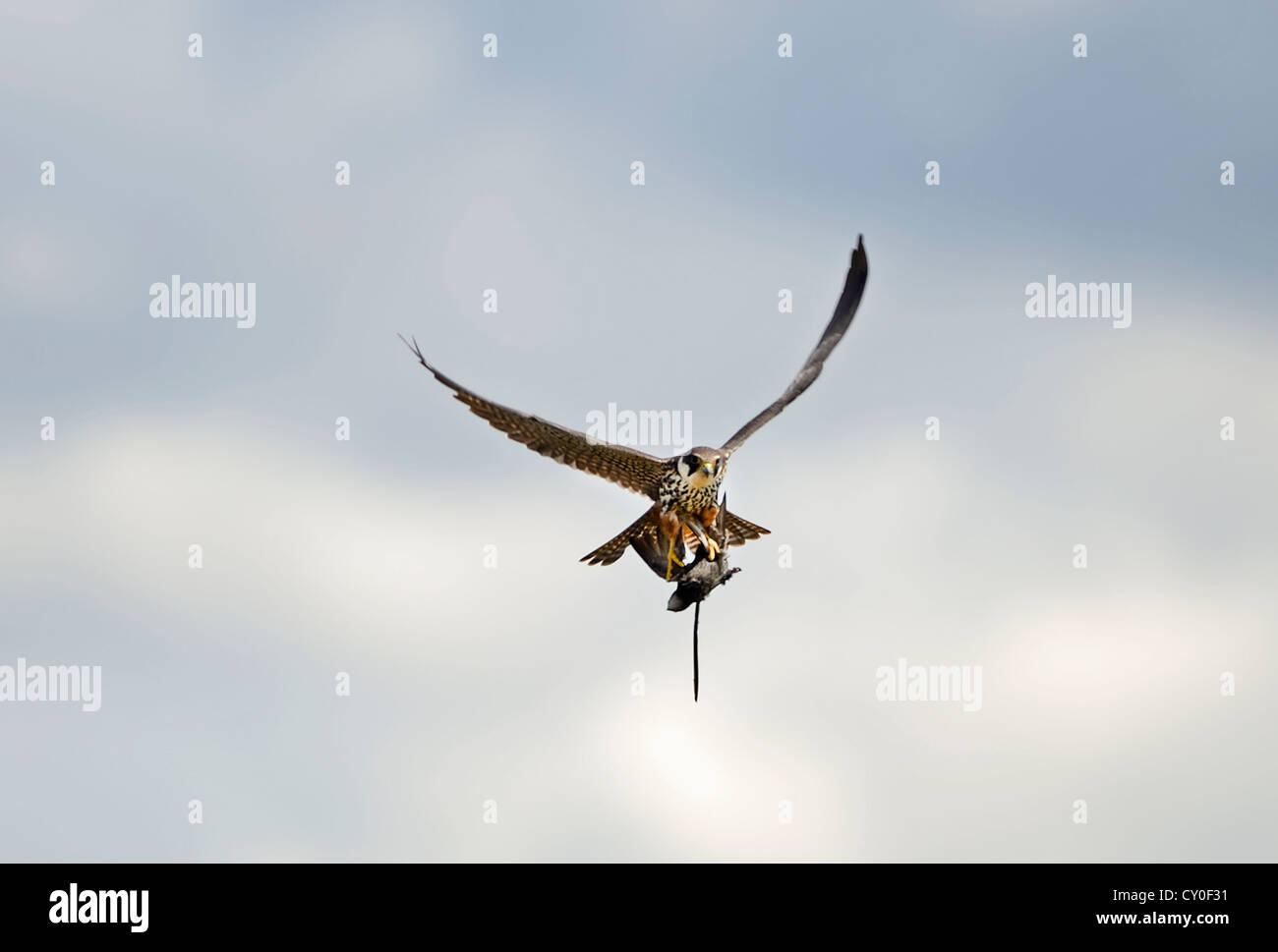 Hobby Falco Subbuteo con Swift Apus apus capturadas durante reedbed Norfolk Mayo Imagen De Stock