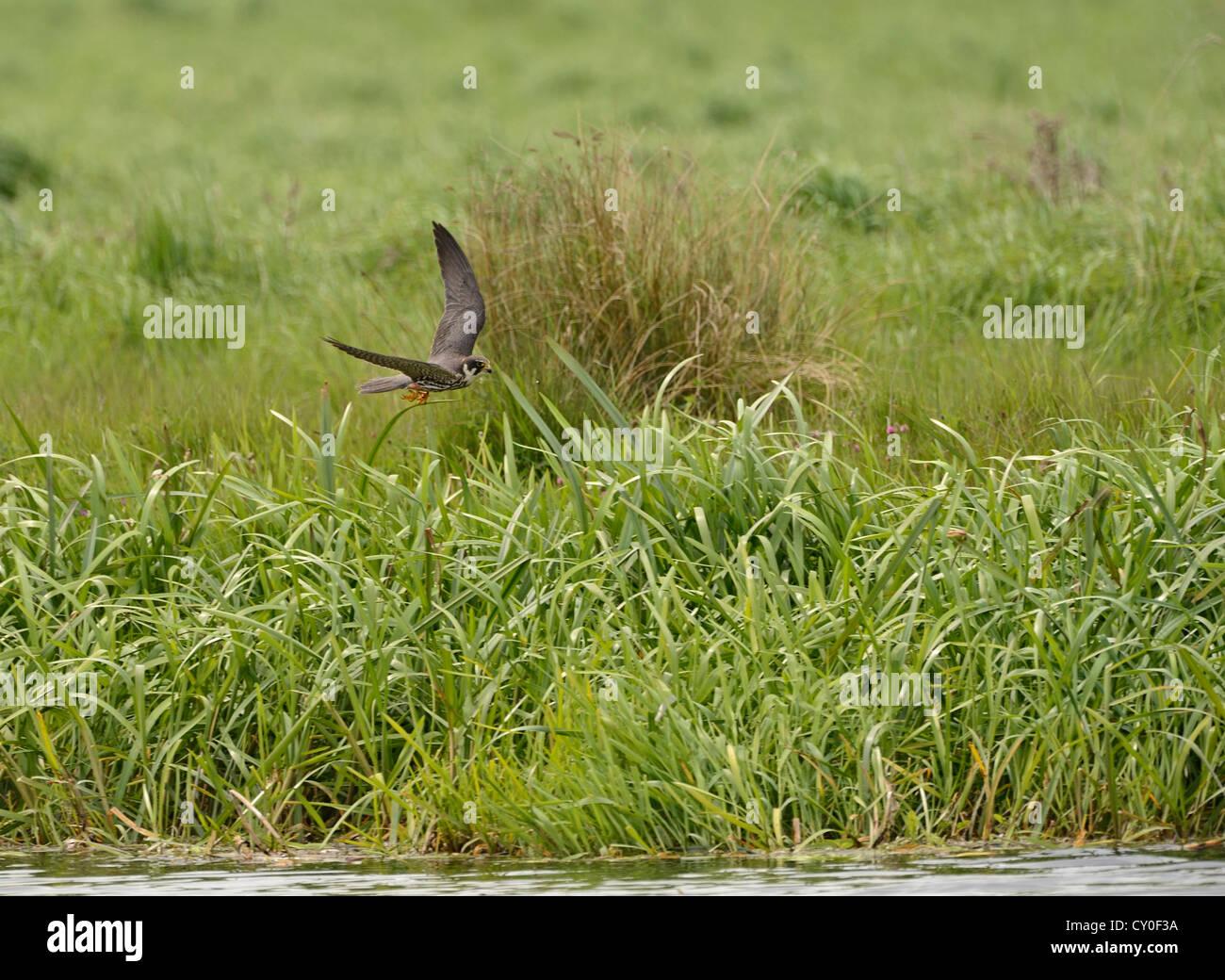 Hobby Falco Subbuteo caza Reserva RSPB Lakenheath Suffolk Mayo Imagen De Stock