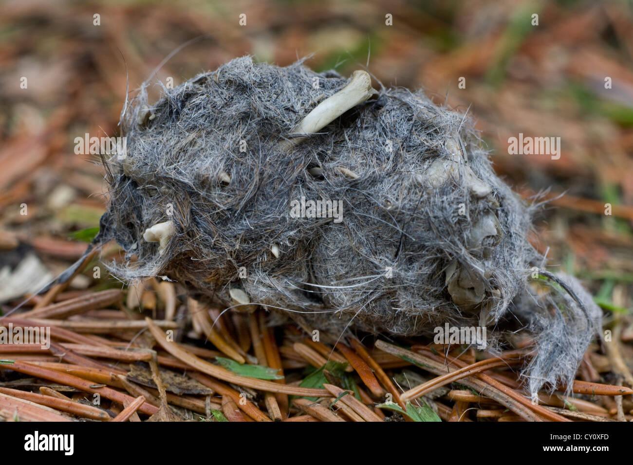 Cerca de la regurgitación de pellet de búho de orejas largas (asio otus / Strix otus) en bosques mostrando Imagen De Stock