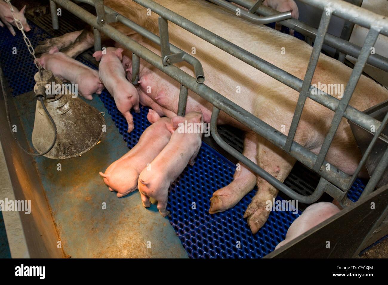 Los cerdos domésticos cochinillo de lechones de cerdo derramó en la pocilga Imagen De Stock