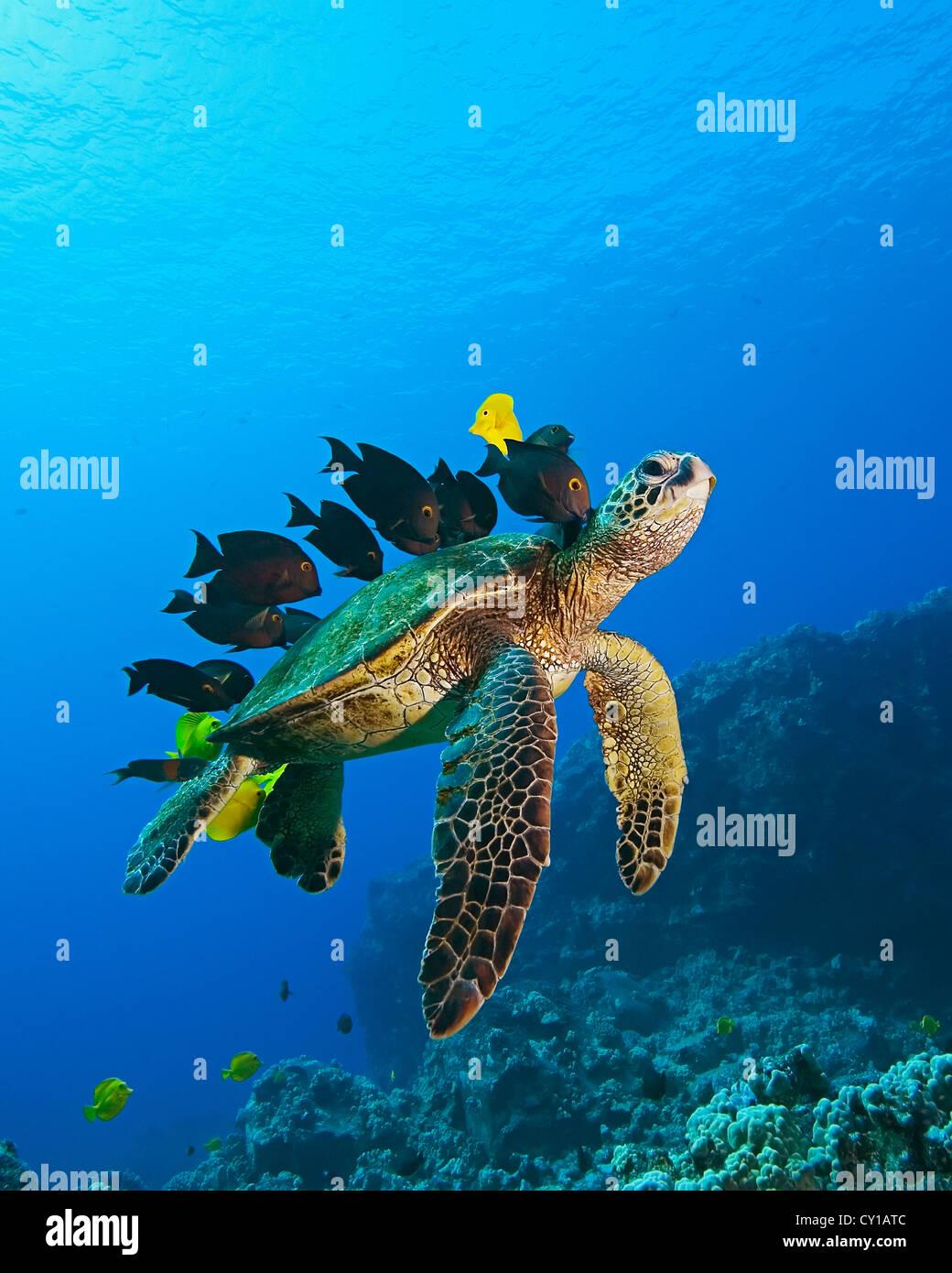 Tortuga de Mar Verde limpiados por peces, Chelonia mydas, Big Island, Hawaii, EE.UU. Imagen De Stock