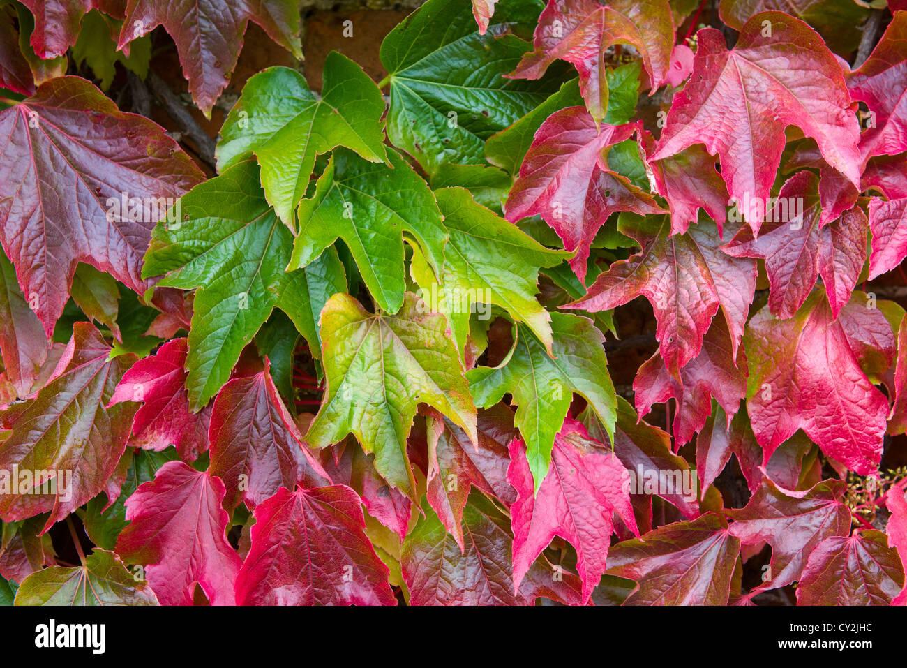 Boston, Parthenocissus tricuspidata lenta, hojas rojas en el otoño, Inglaterra Septiembre Imagen De Stock