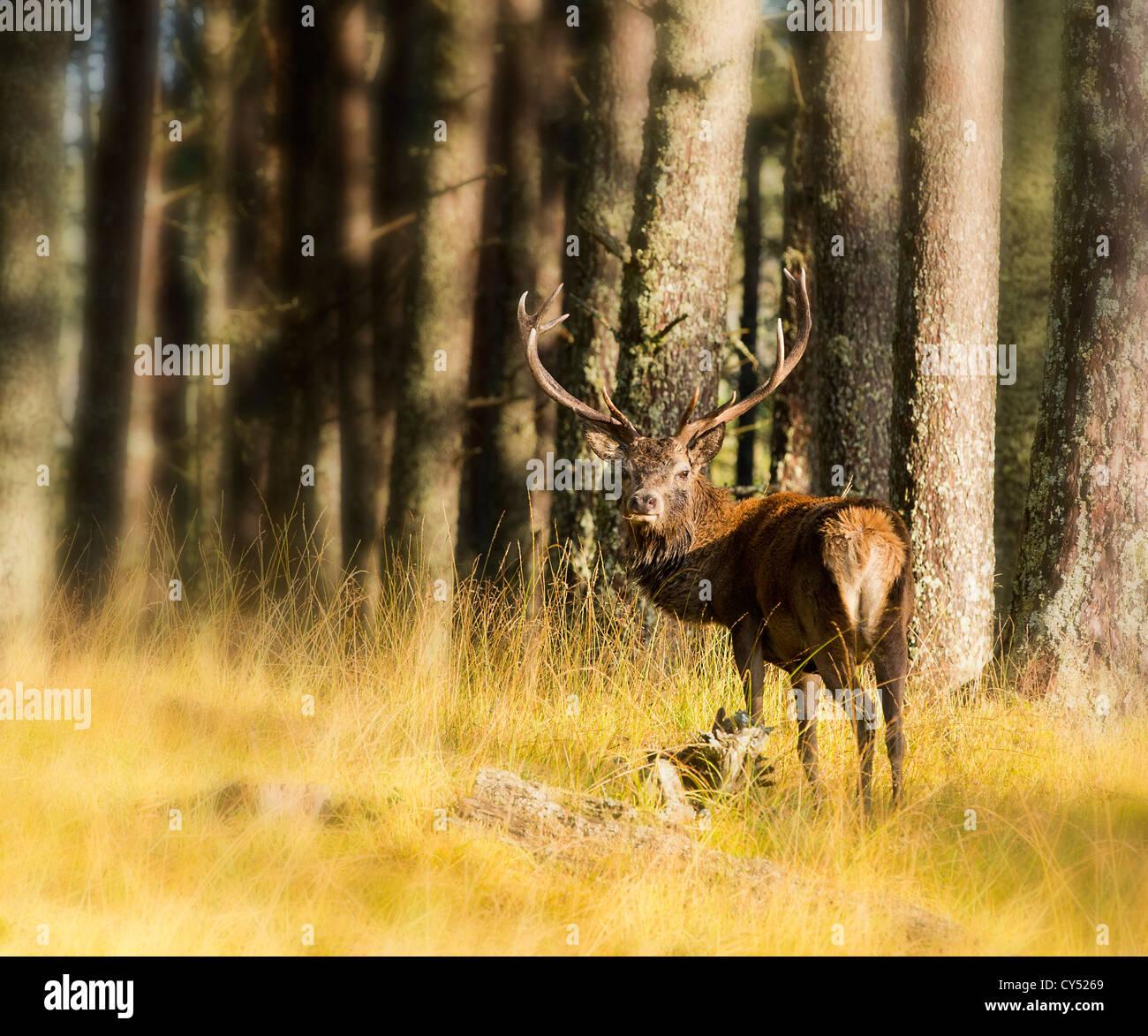 Ciervo Ciervo en el bosque de Cairngorm Foto de stock