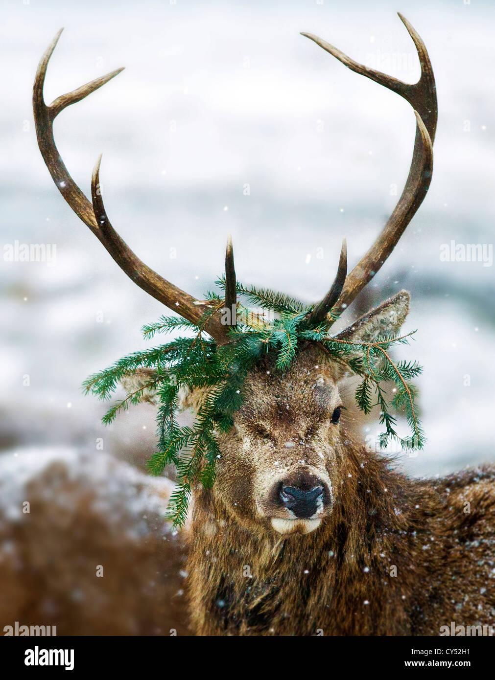 El Príncipe rojo ciervo ciervo en la nieve aún en modo de celo . Un príncipe rojo con una corona de pino Caledonian Foto de stock