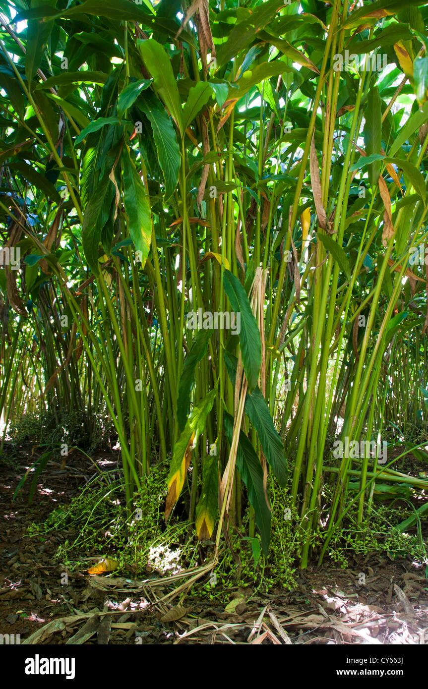 Cultivo de cardamomo, Cochin, Kerala, India Imagen De Stock