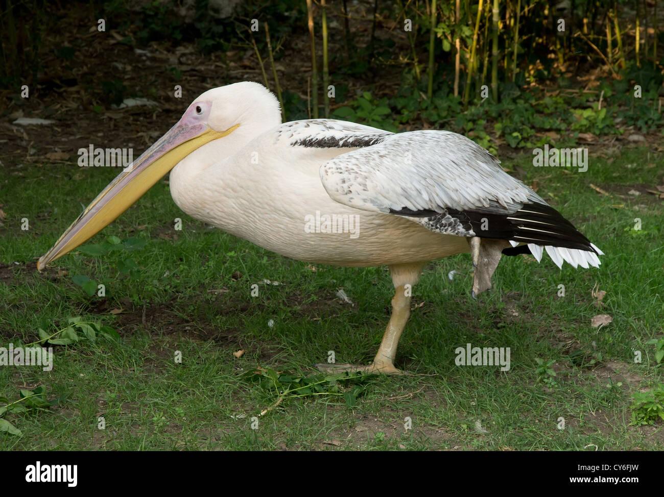 Pelican Imagen De Stock
