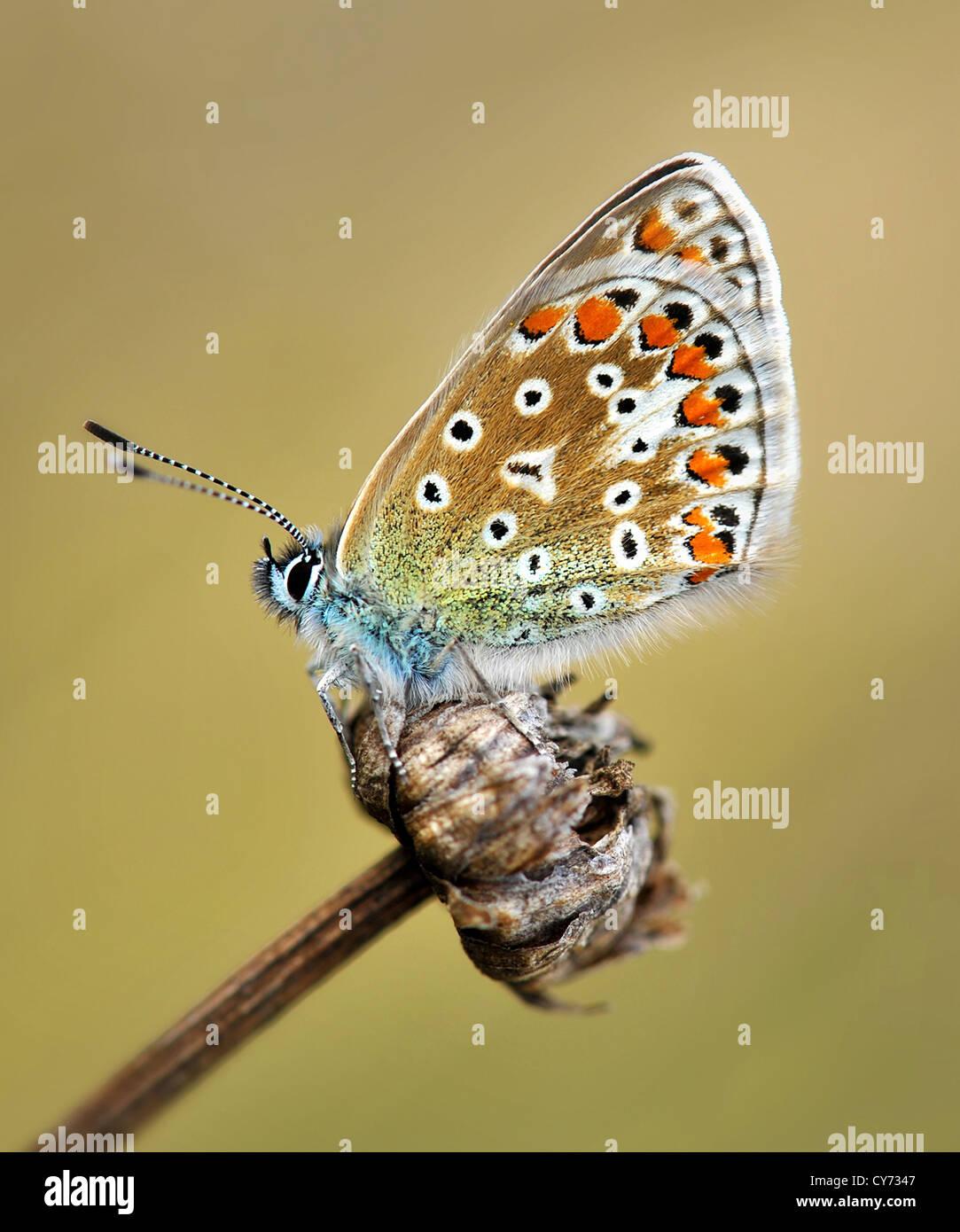 La mariposa azul común es el más frecuente azul se encuentran en las Islas Británicas. Polyommatus icarus Foto de stock