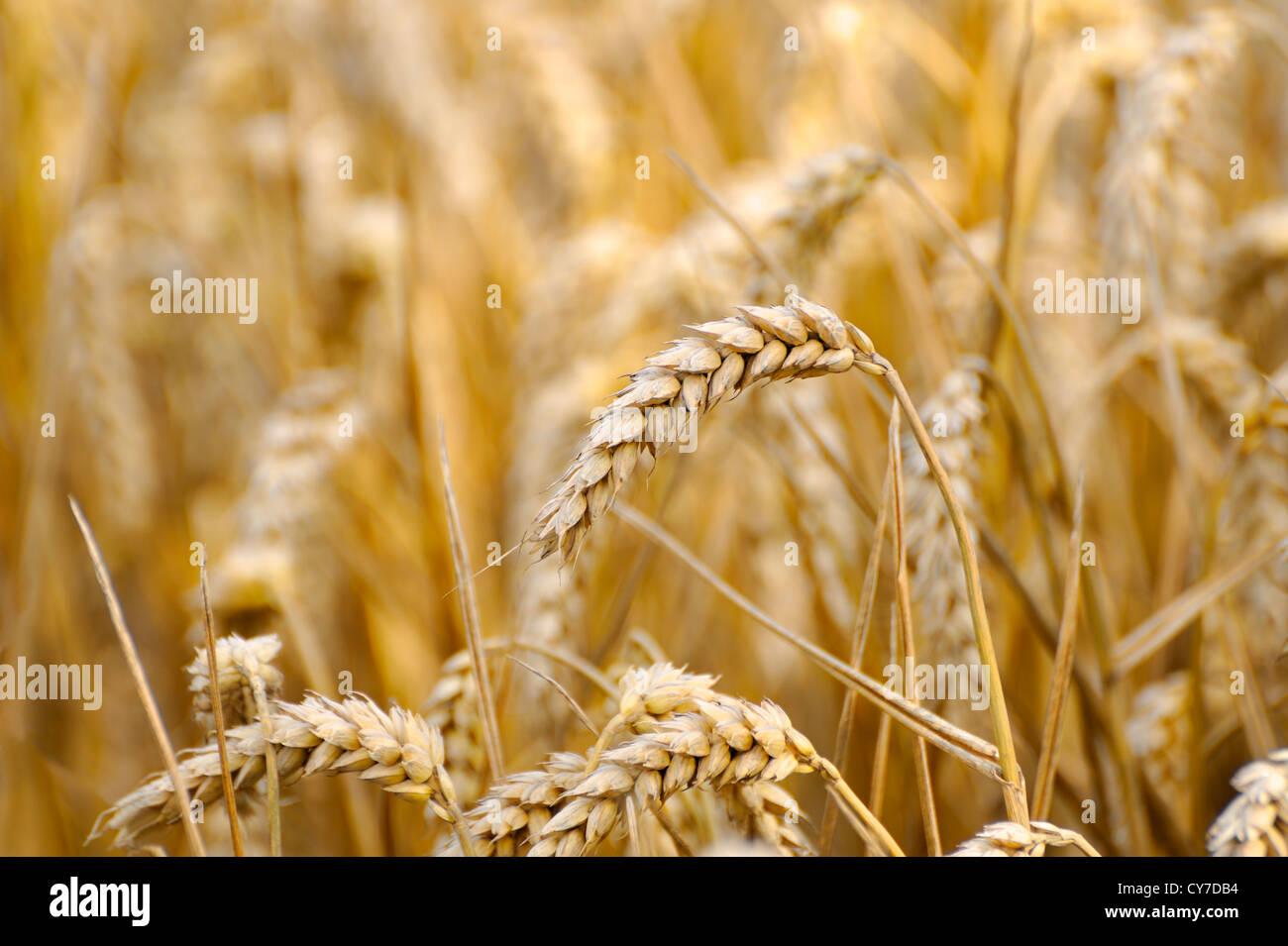Cultivo de trigo en un campo , ÚNICA OREJA o tallos de trigo Imagen De Stock