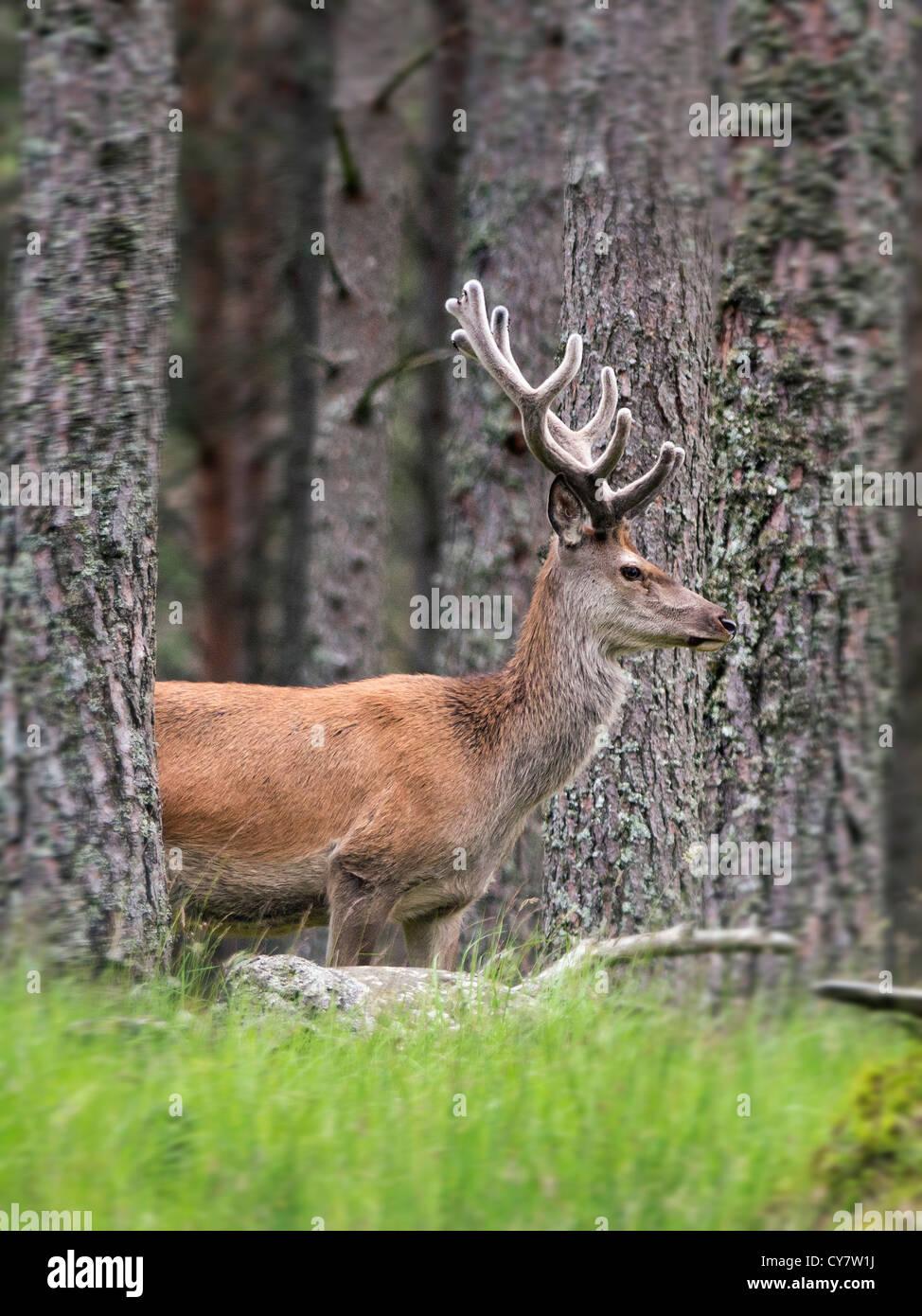 Un ciervo ciervo en las Highlands escocesas enmarcado por pinos Caledonian Foto de stock