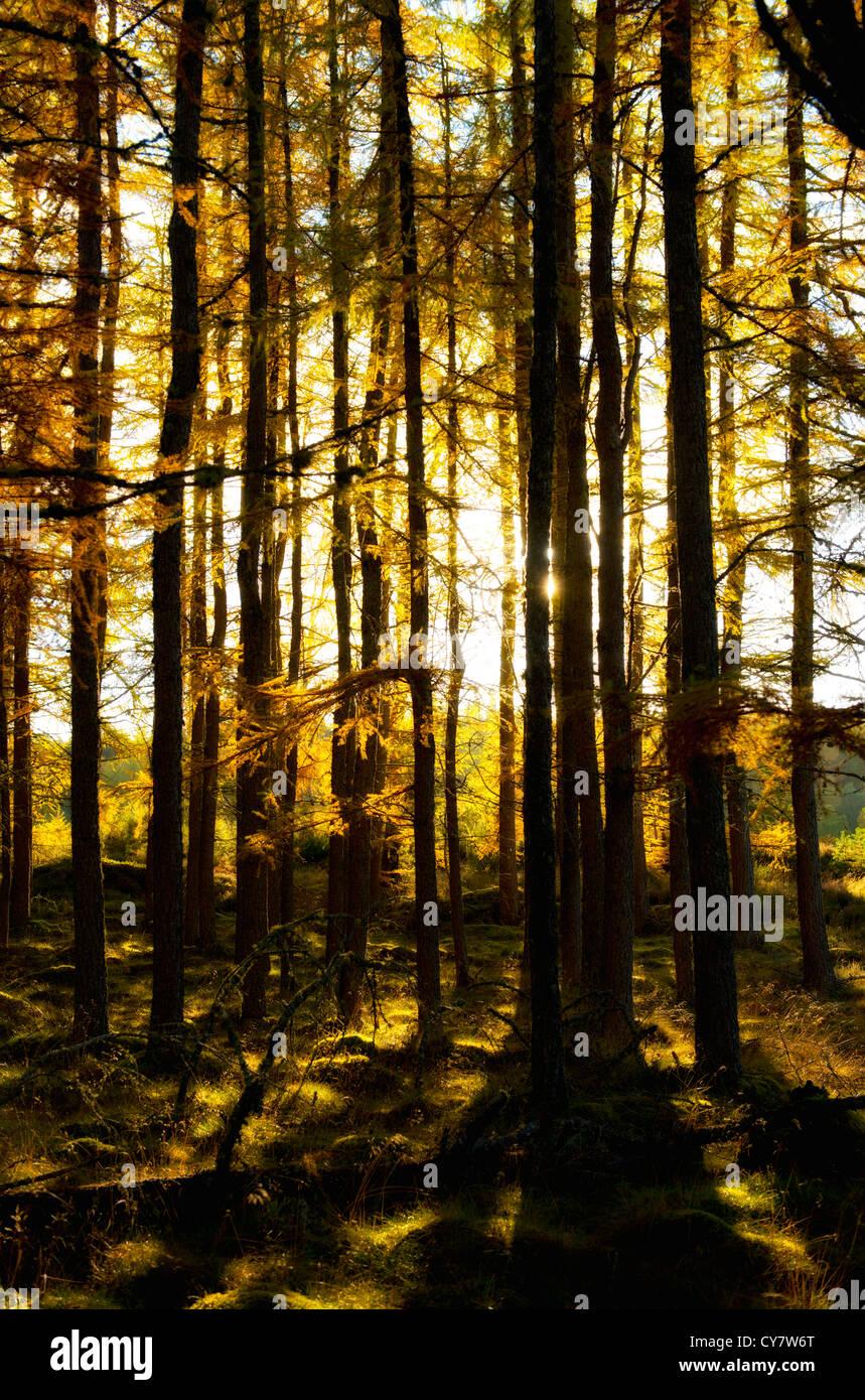El otoño de la luz del sol brilla a través de los árboles de oro en las Highlands escocesas Foto de stock