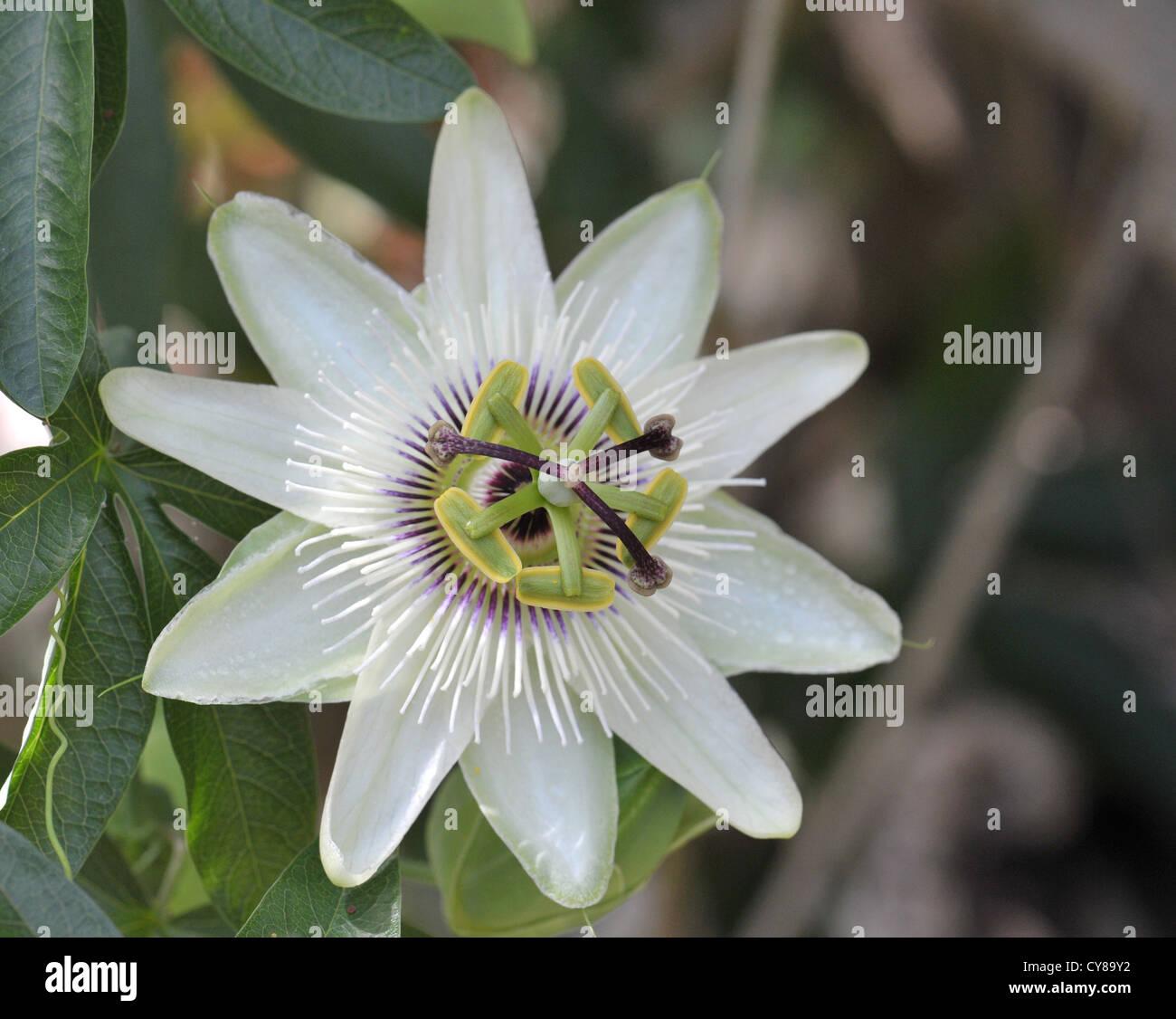 La flor de la pasión (passiflora) es una trepadora perenne con flores de aspecto exótico Foto de stock