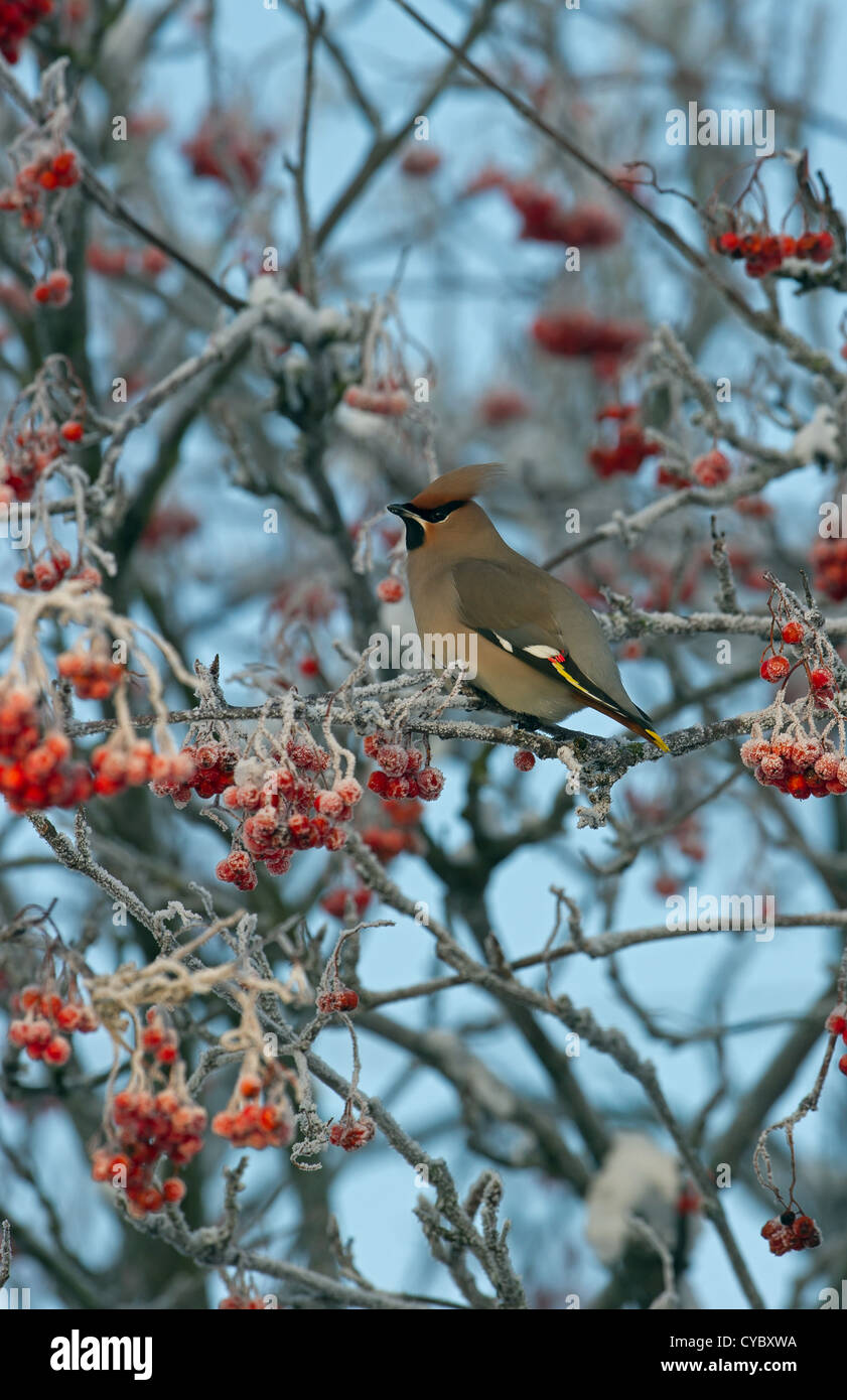 Bohemian Waxwing en frosted berry árbol en invierno Imagen De Stock