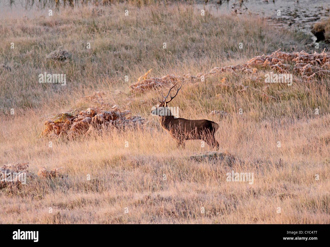 Reino Unido Escocia Ciervo ciervo y hierba mate Foto de stock