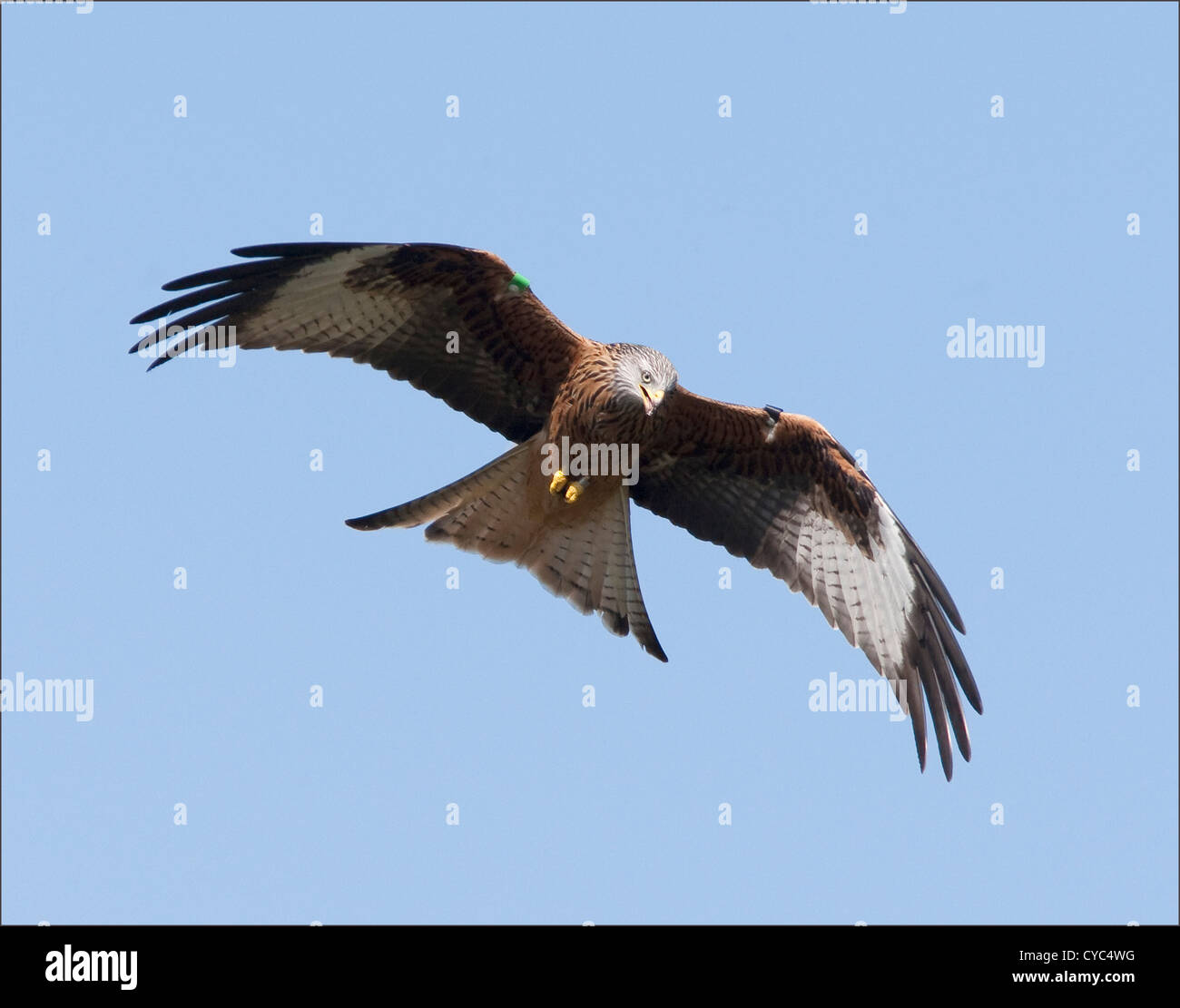Una Red Kite en vuelo sobre gigrin granja Estación de alimentación Foto de stock