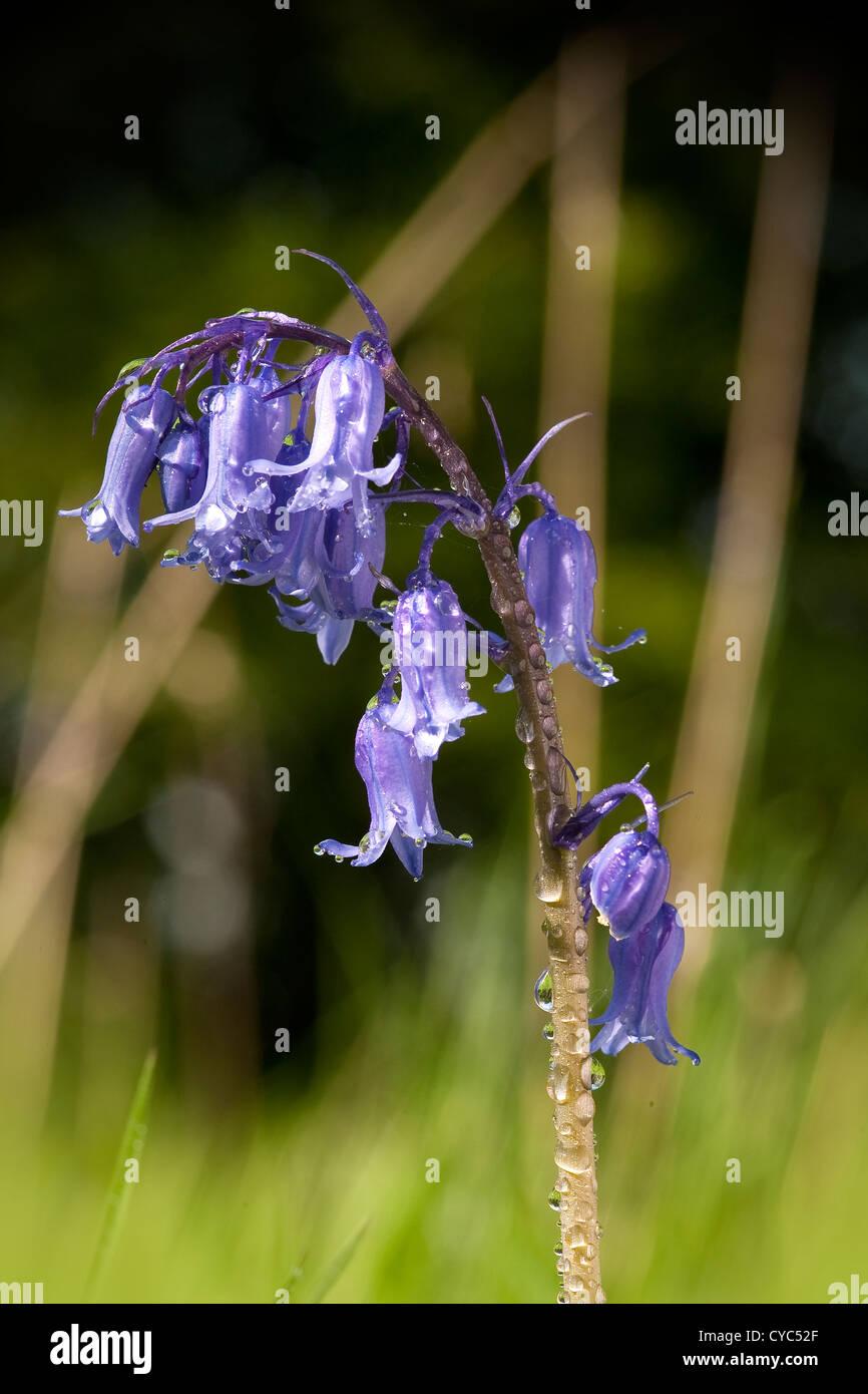 Bluebell común encontrado en bosques británicos (Hyacinthoides non-scripta) Foto de stock