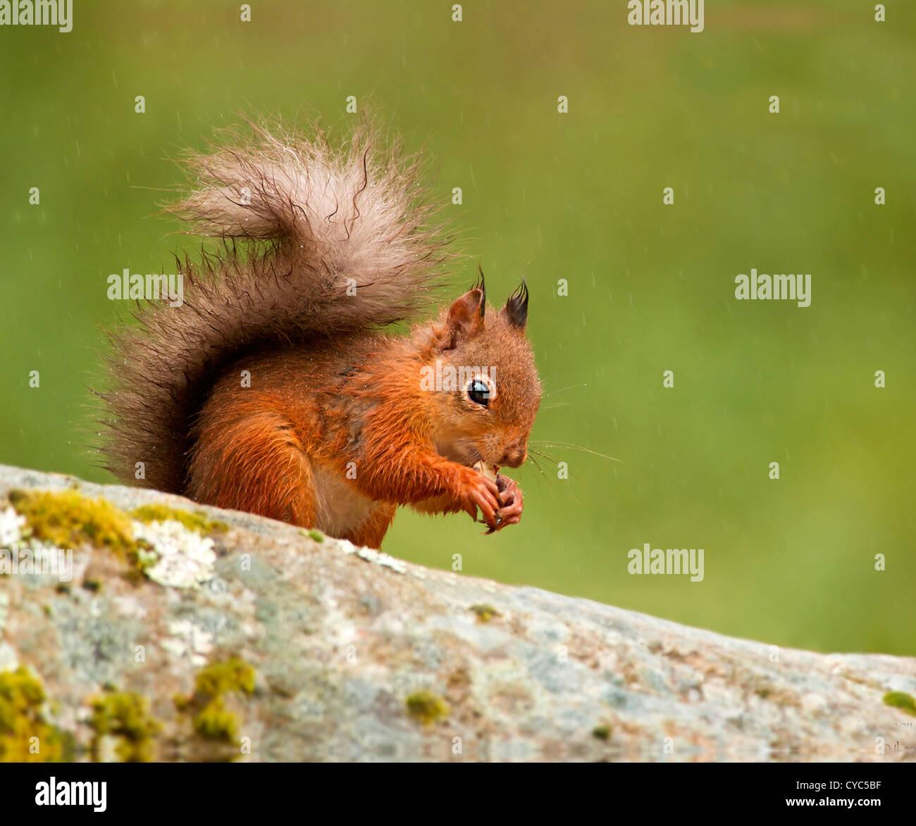 Una ardilla roja en la lluvia come cacahuetes Foto de stock