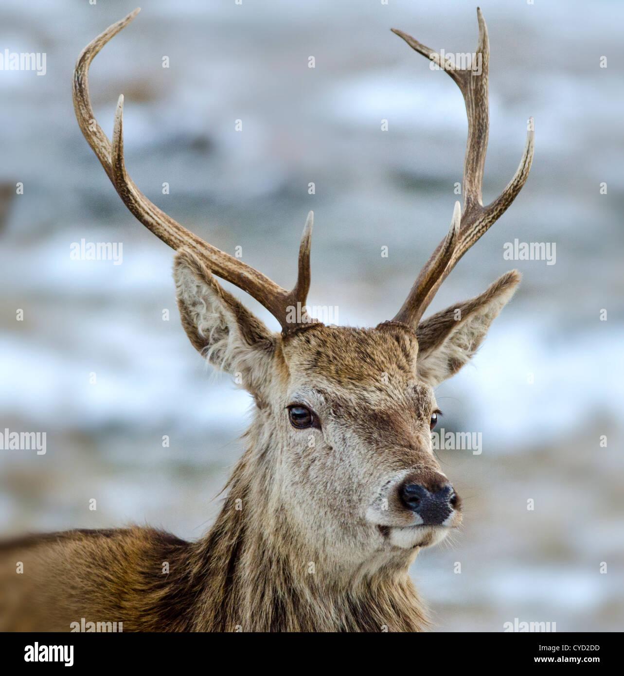 Un ciervo ciervo en invierno Foto de stock