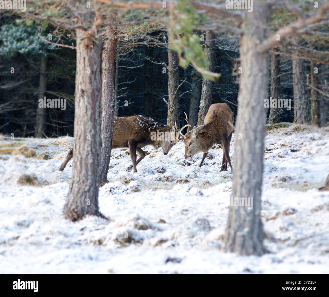 Los últimos días de la rutt en las Highlands escocesas dos rojos ciervos querido ir cabeza a cabeza en las colinas cubiertas de nieve Foto de stock