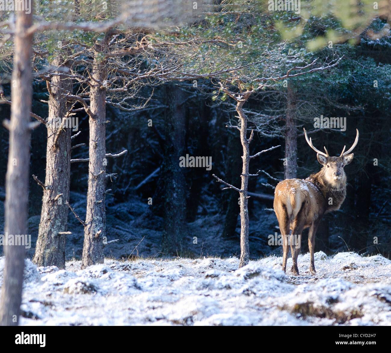 El célebre 'Monarch del Glen', el ciervo el ciervo es un icono escocés. Esta especie, el mayor mamífero terrestre en Gran Bretaña, Foto de stock