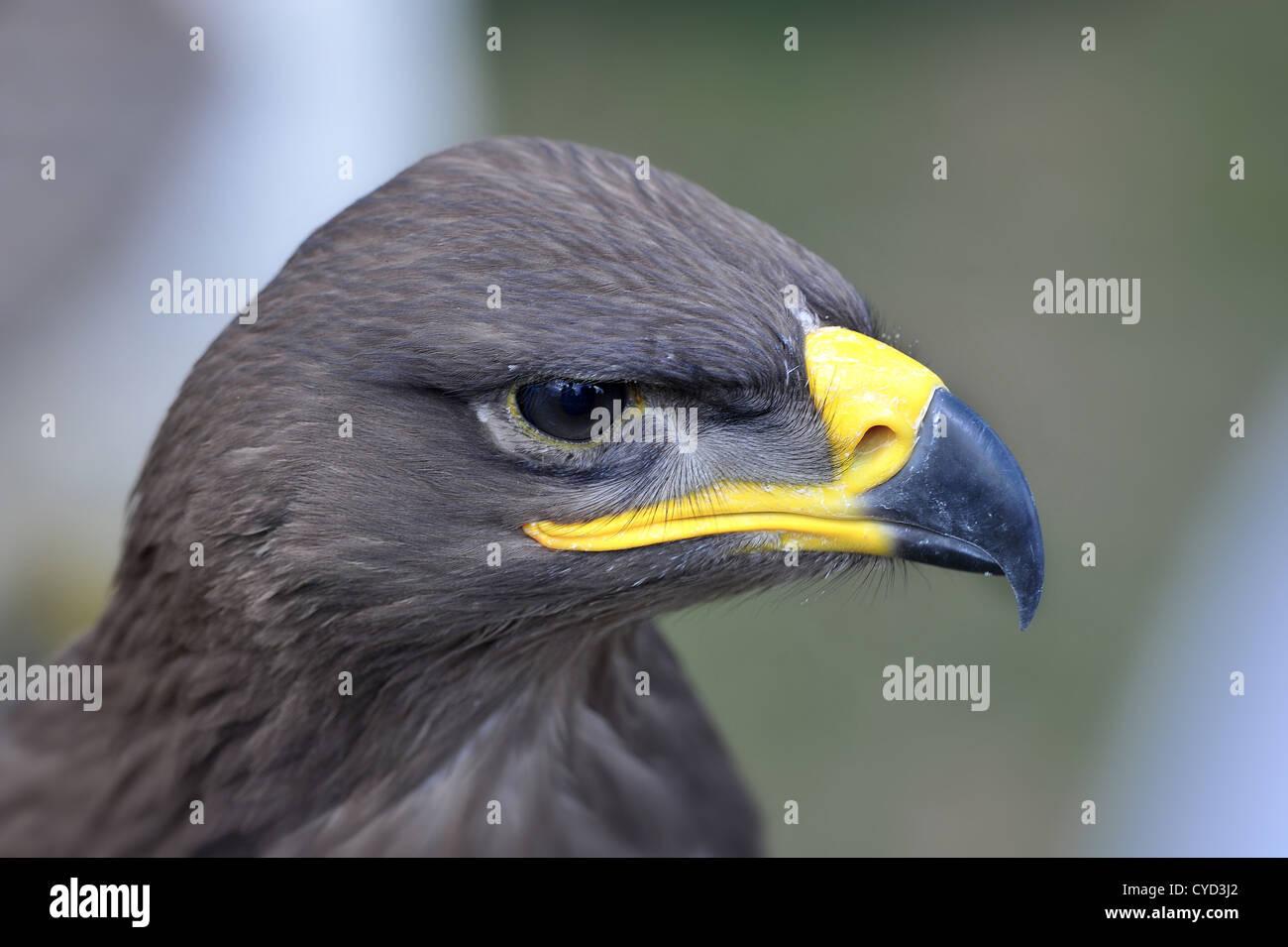 Águila de estepa de cabeza y hombros cone que sharp busca pico Foto de stock