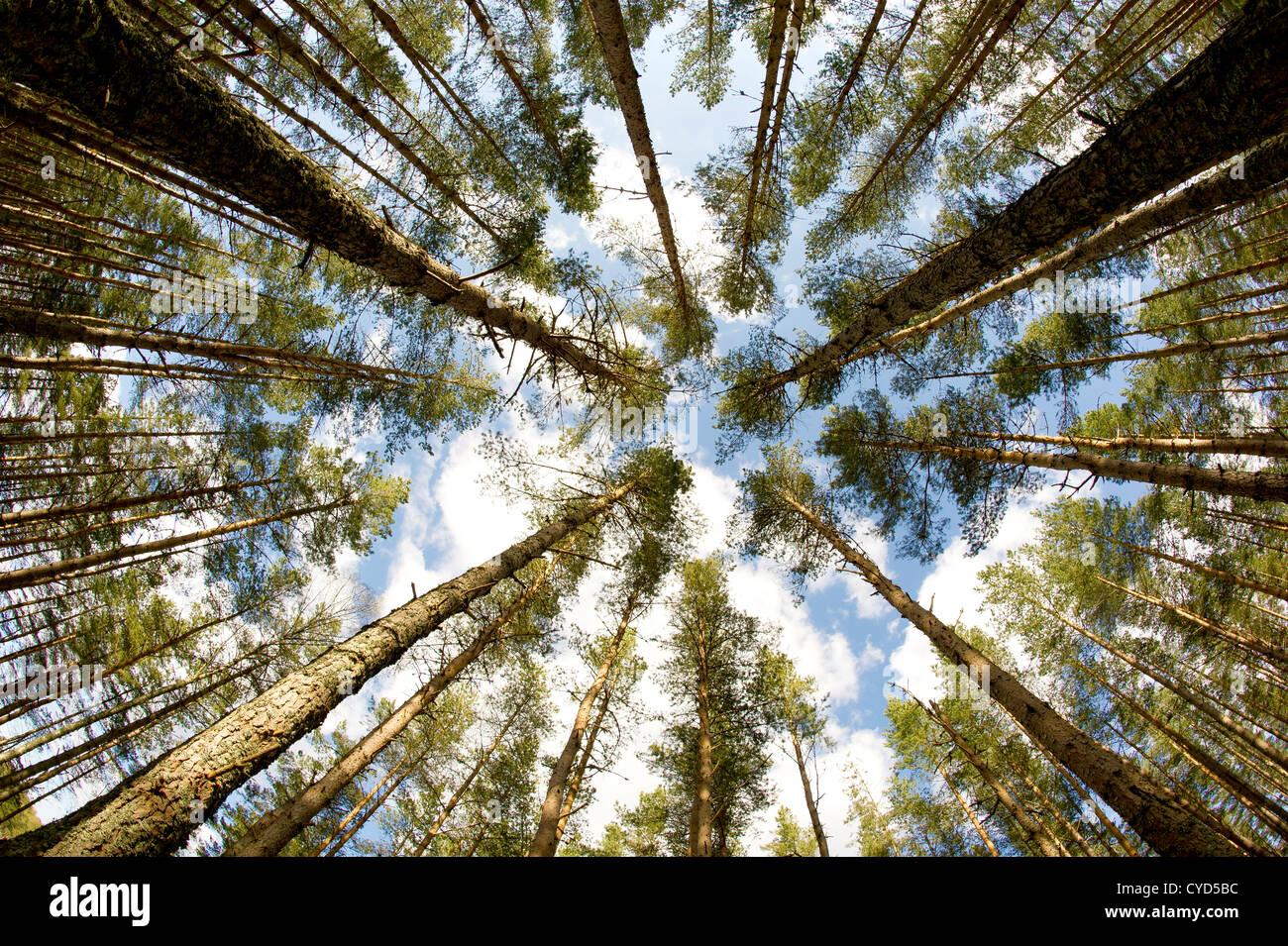Scottish caledonian pinos fotografiado a través de un lente de ojo de pez Foto de stock