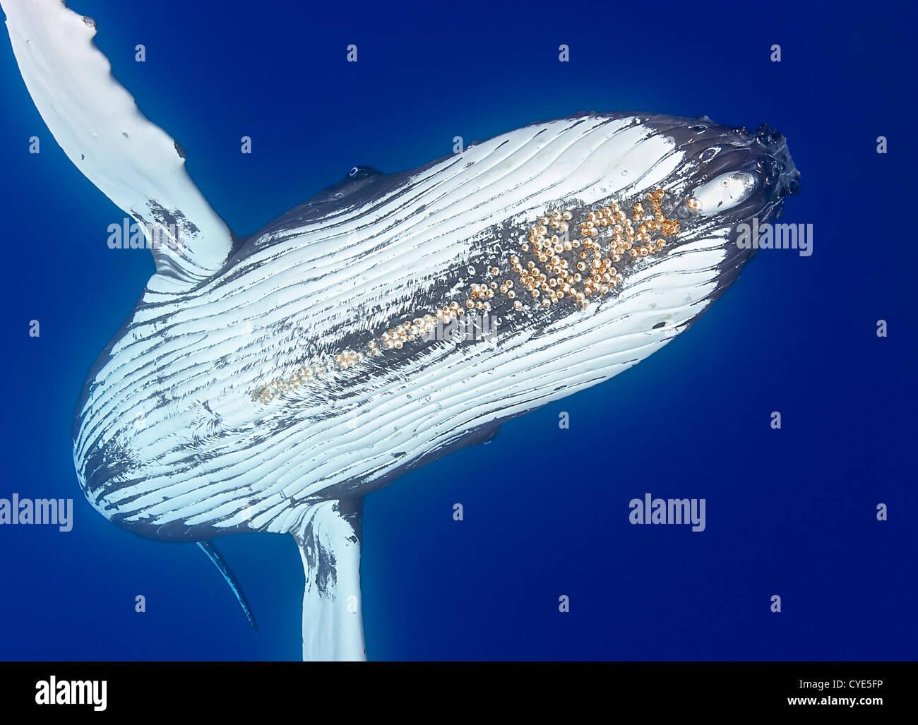La ballena jorobada (Megaptera novaeangliae), con bellota parasitaria percebes adjunta bajo el mentón (Cornula diaderma) Foto de stock