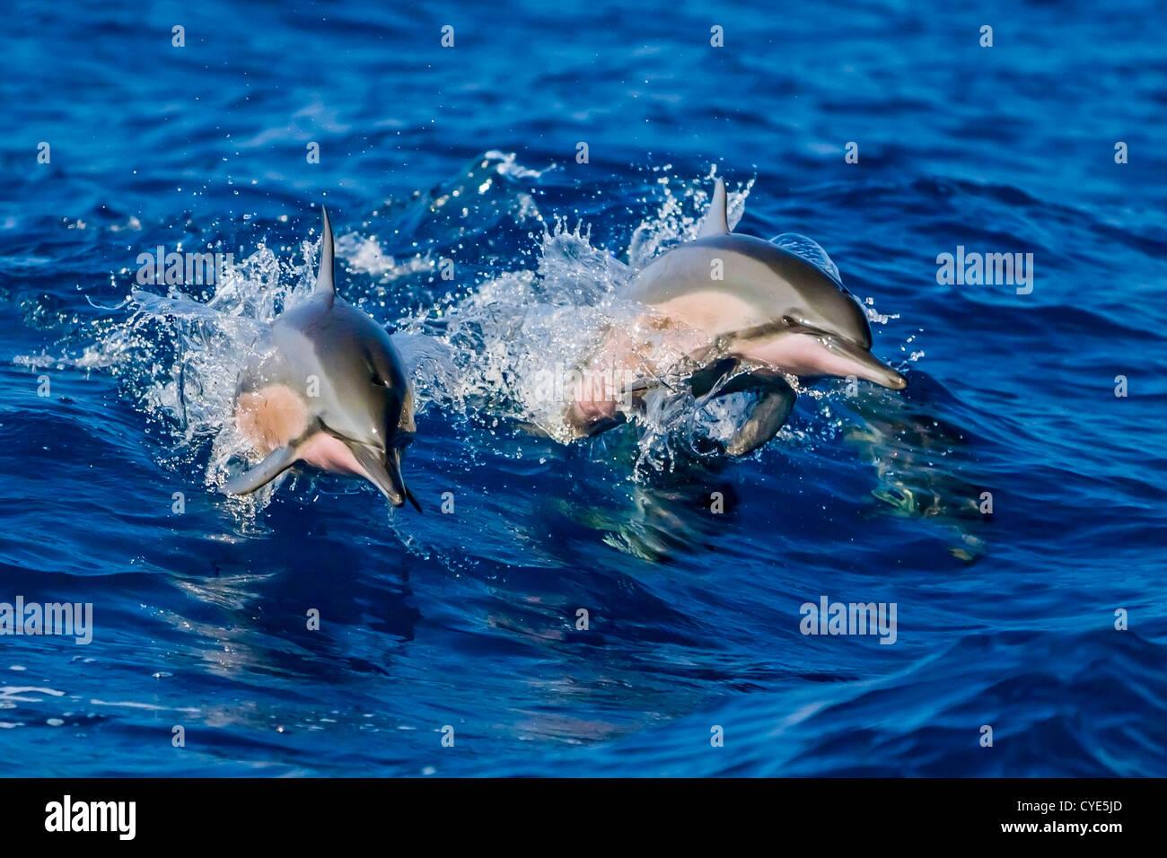 Par de Hawaiian delfines (Stenella longirostris longirostris), saltando de barco wake, Kealakekua Bay, Hawai Foto de stock