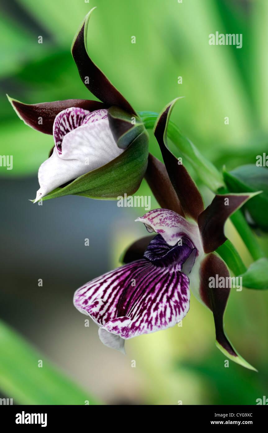 Zygopetalum louisendorf orquídeas orquídeas closeup enfoque selectivo púrpura rojo oscuro granate moteado venas Marcadores Nervaduras de Flores Foto de stock