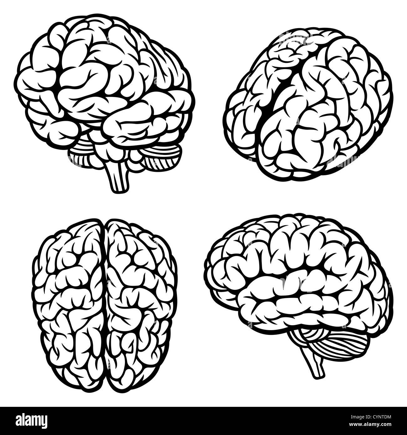Cerebro humano Foto de stock