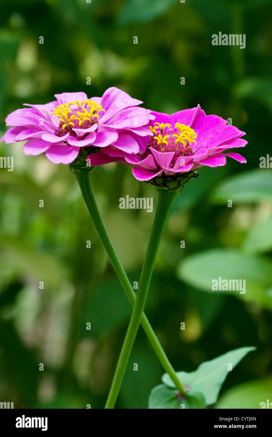 Dos flores entrelazadas. Imagen De Stock
