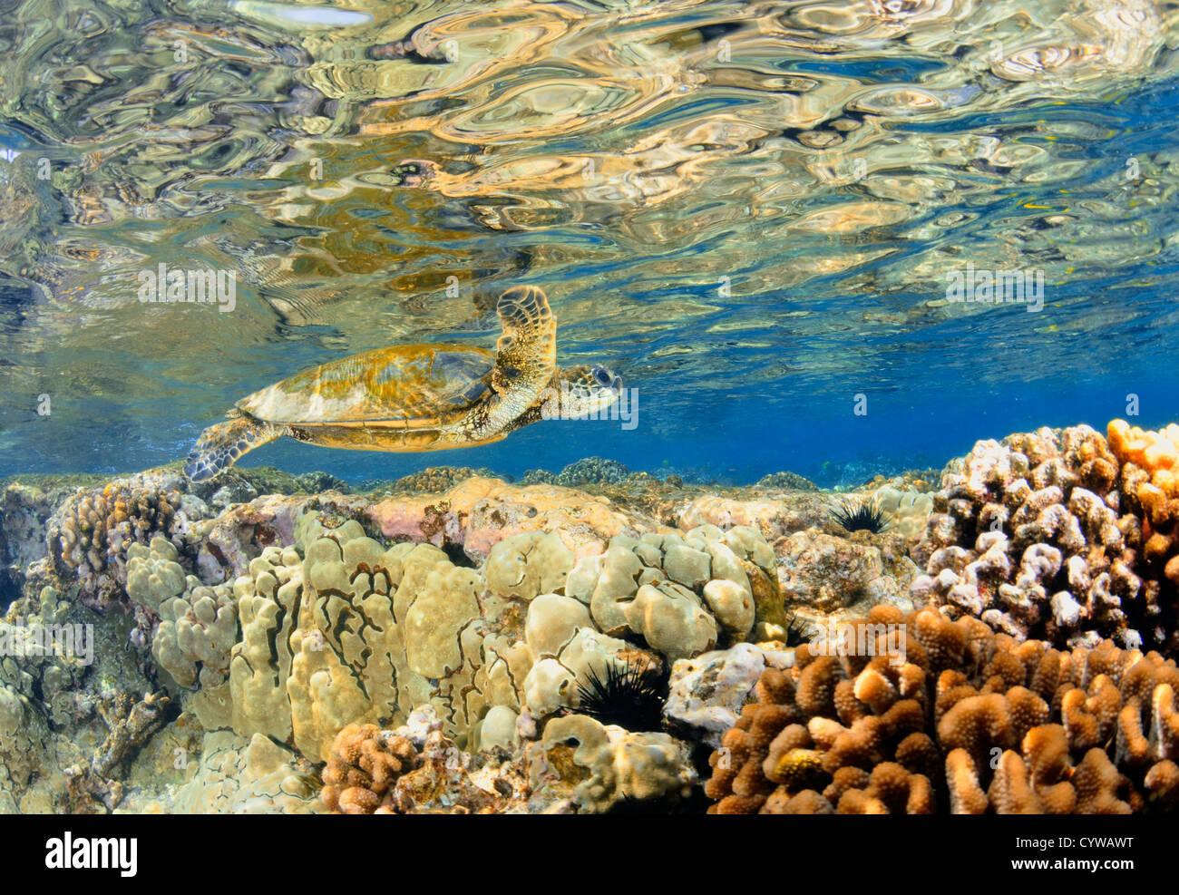 Tortuga Verde juvenil, Chelonia mydas, nadar en arrecifes de coral, el Capitán Cook, Big Island, Hawai, Pacífico Norte Foto de stock
